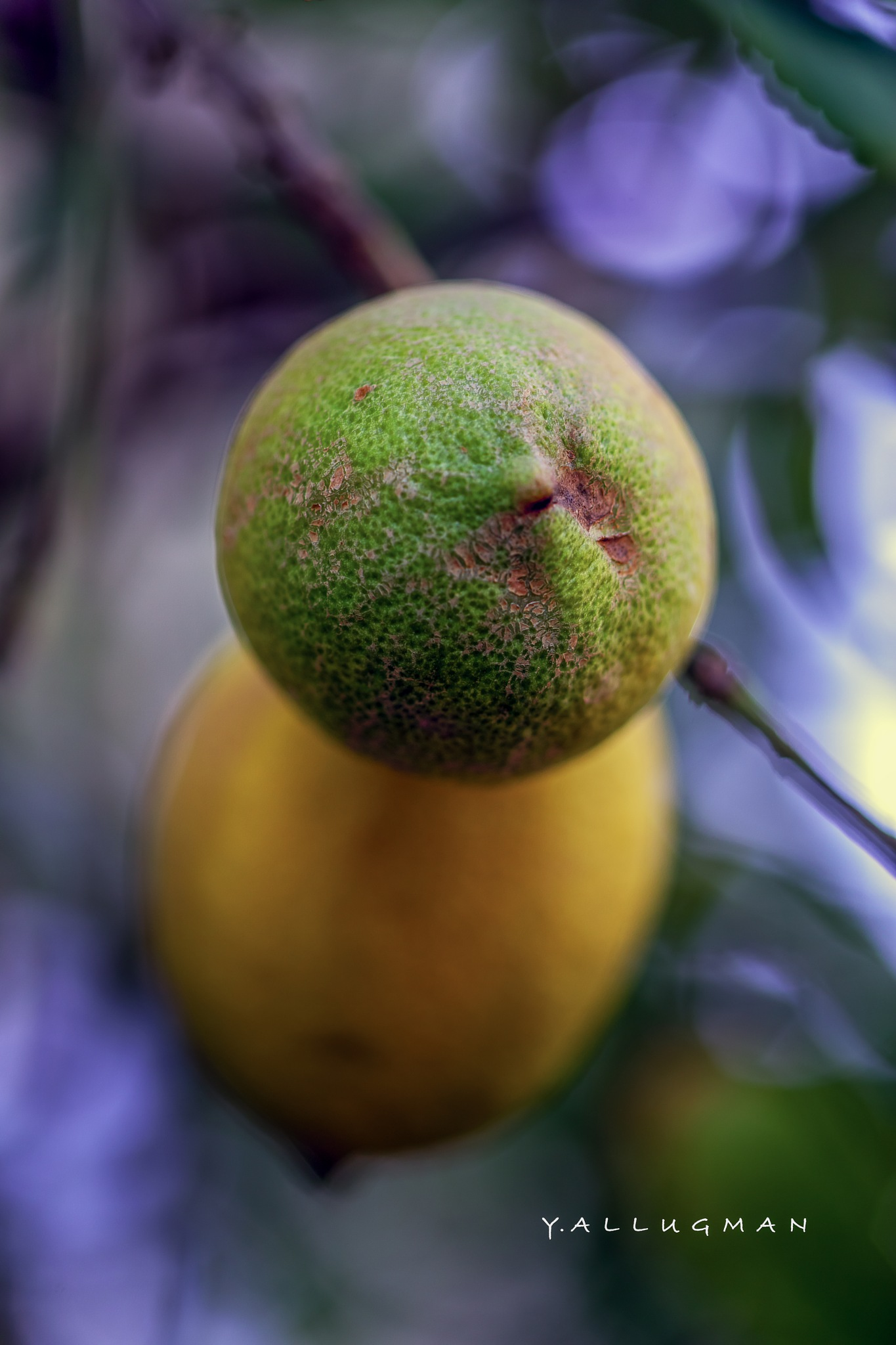 Lemon by Y.Allugman