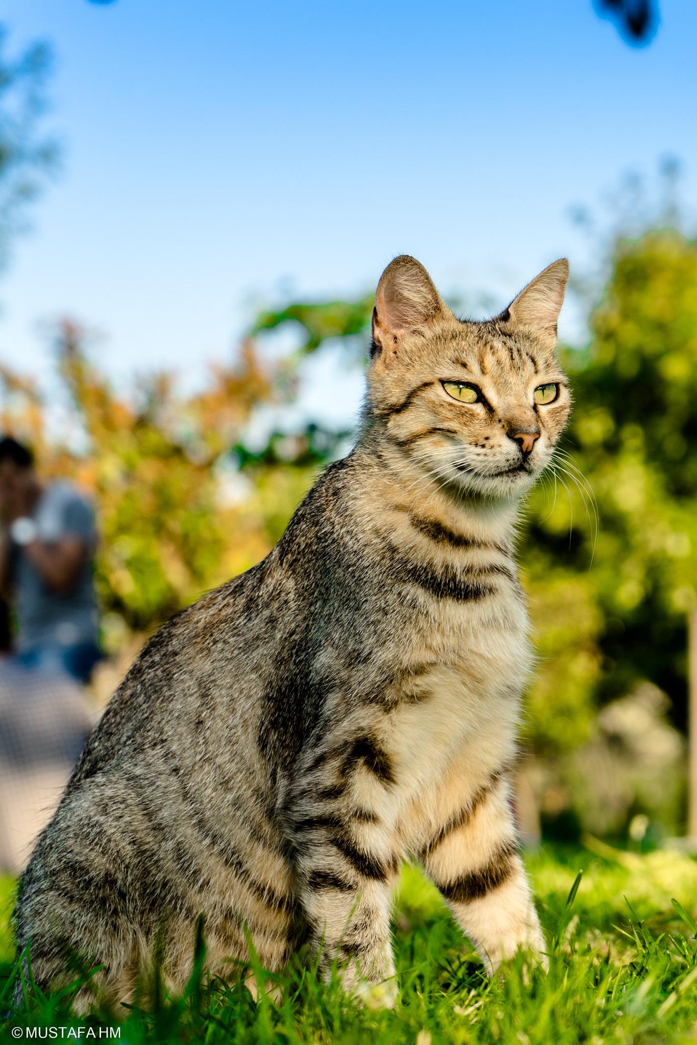 Cat by Mustafa Hadj Mahammed