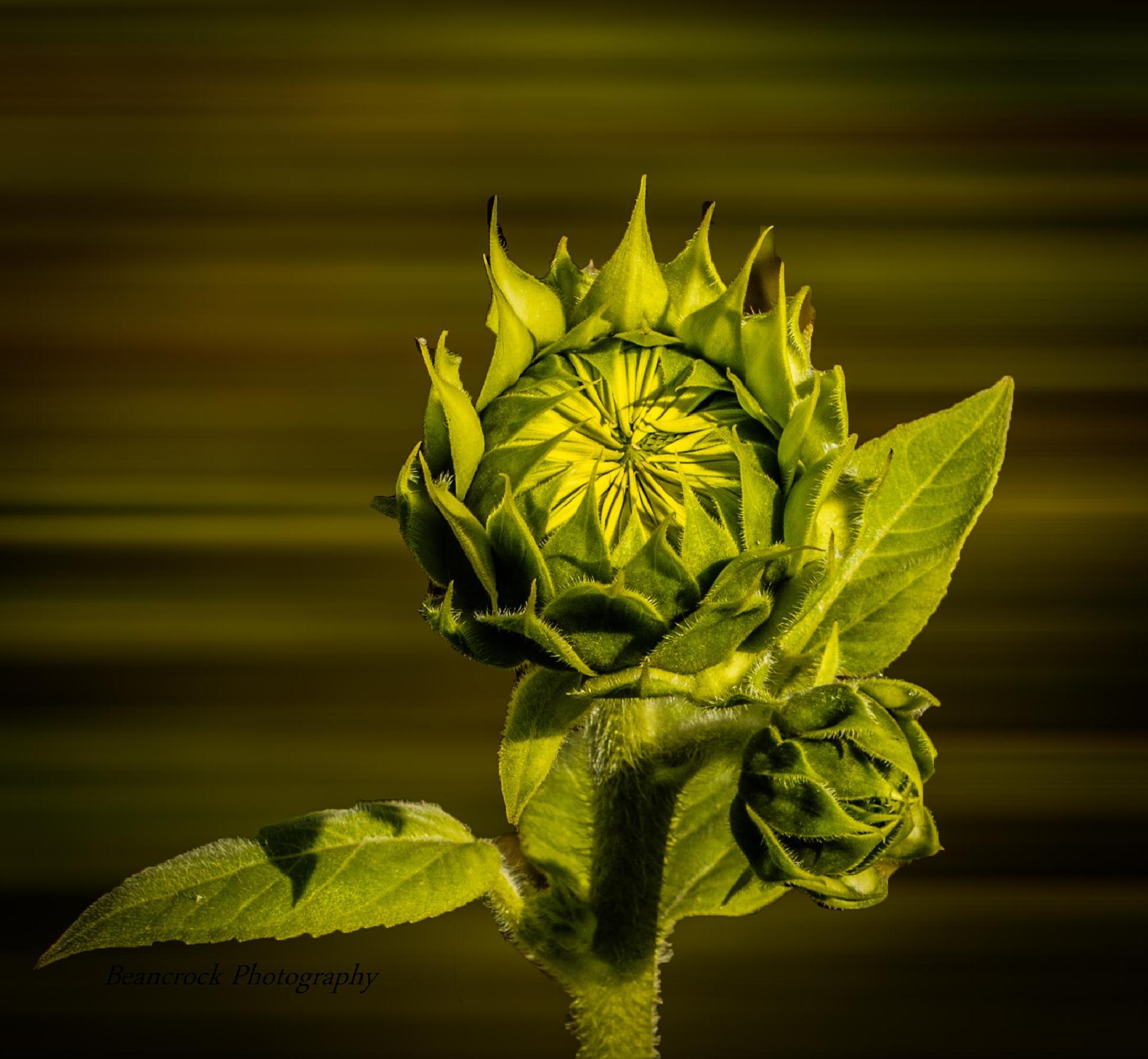Sunflower by Alan Pryor