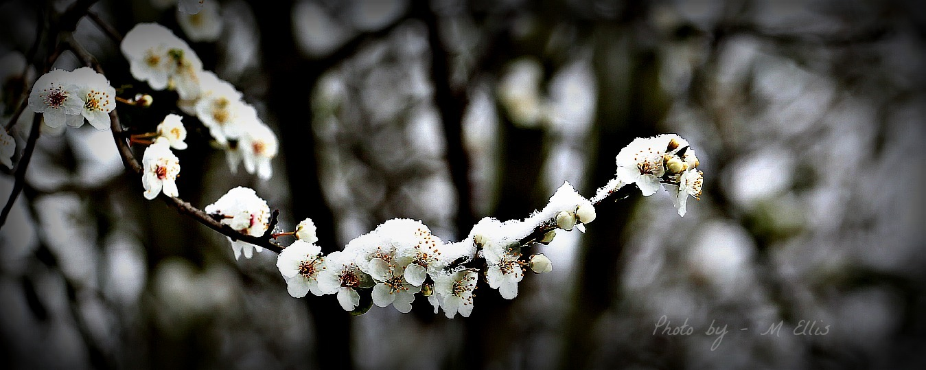 Snow On Blossom OR Blossom on Snow by Martin Ellis