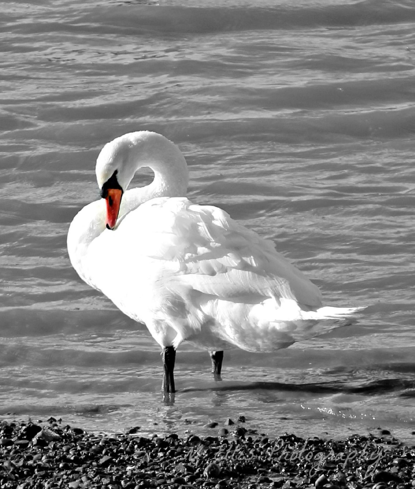 Swan's got a itch  by Martin Ellis
