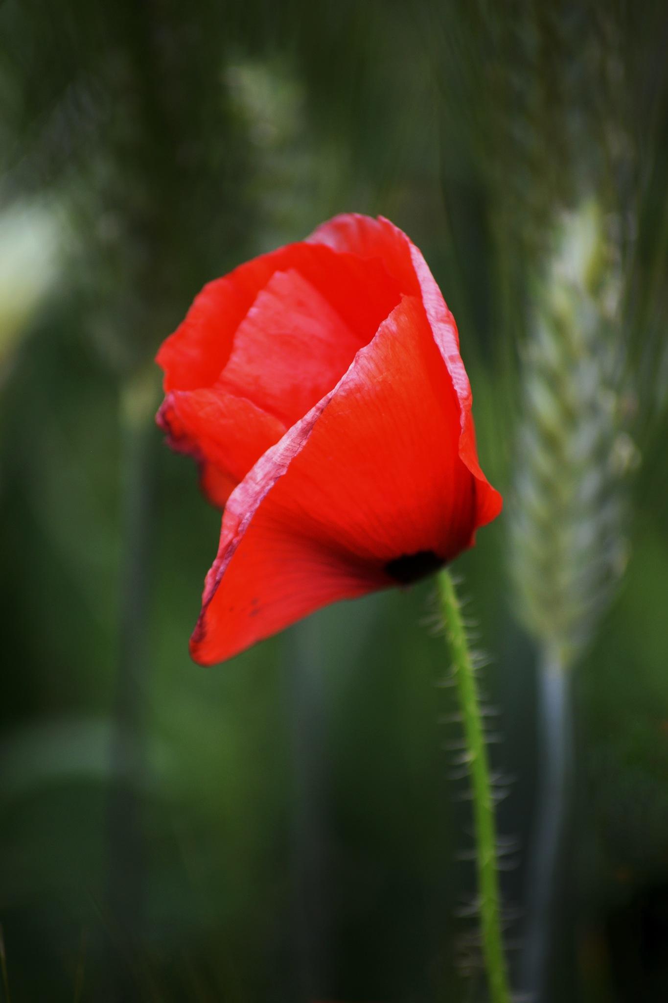 lonely flower by Abdo Rezigua