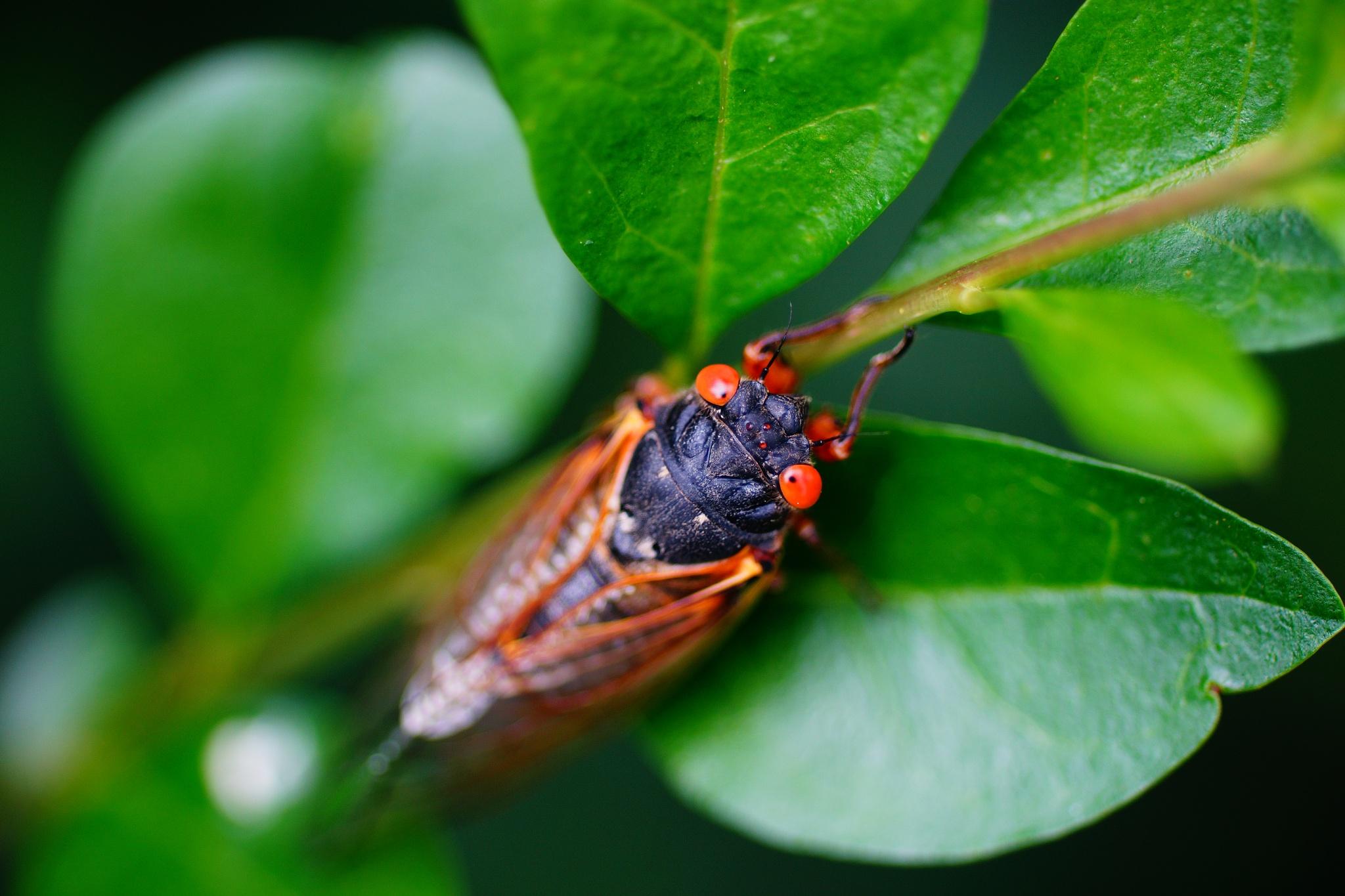 17 Year Cicada  by craig koteles