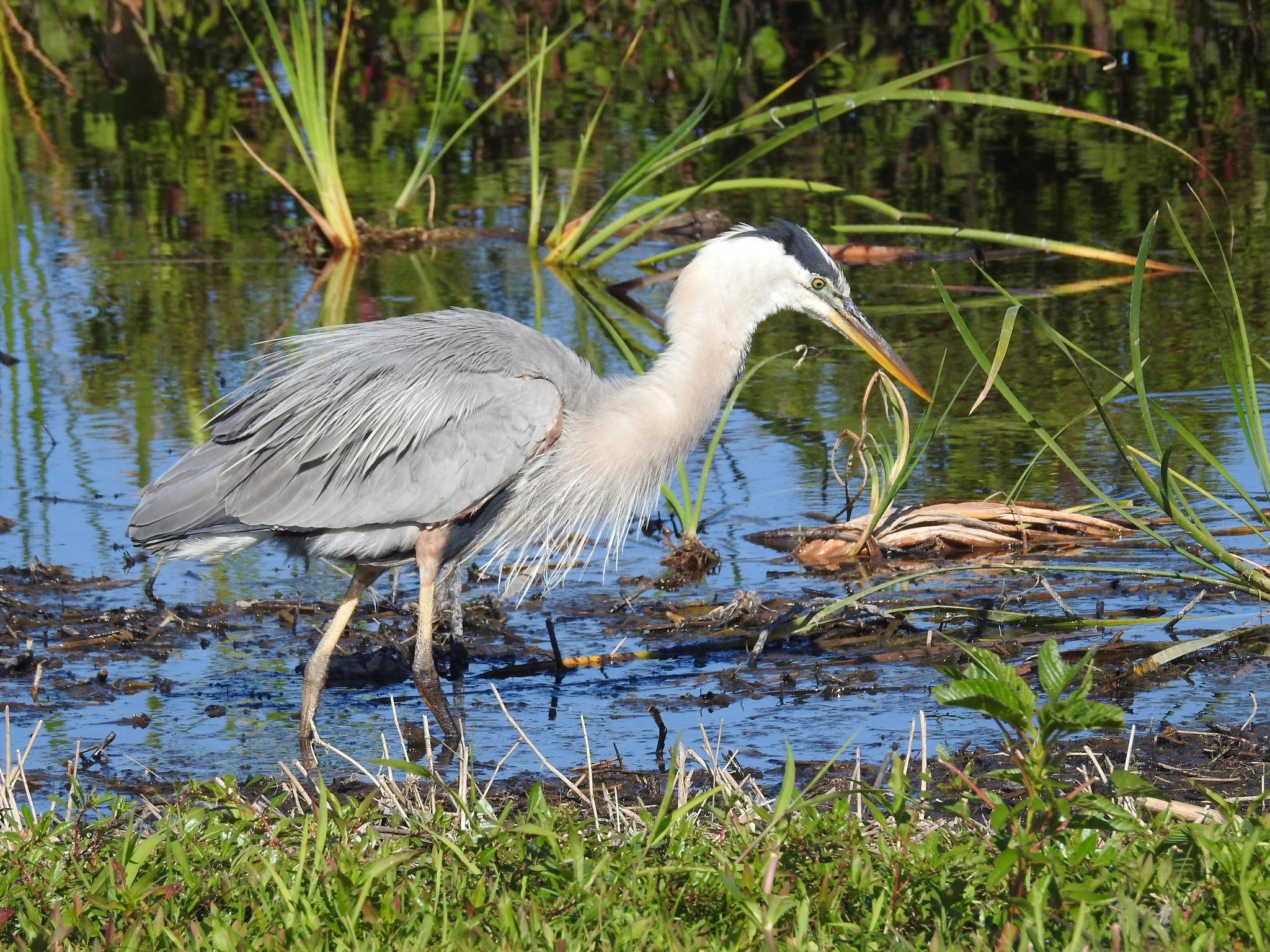 Great Blue Heron by Susan Harrison