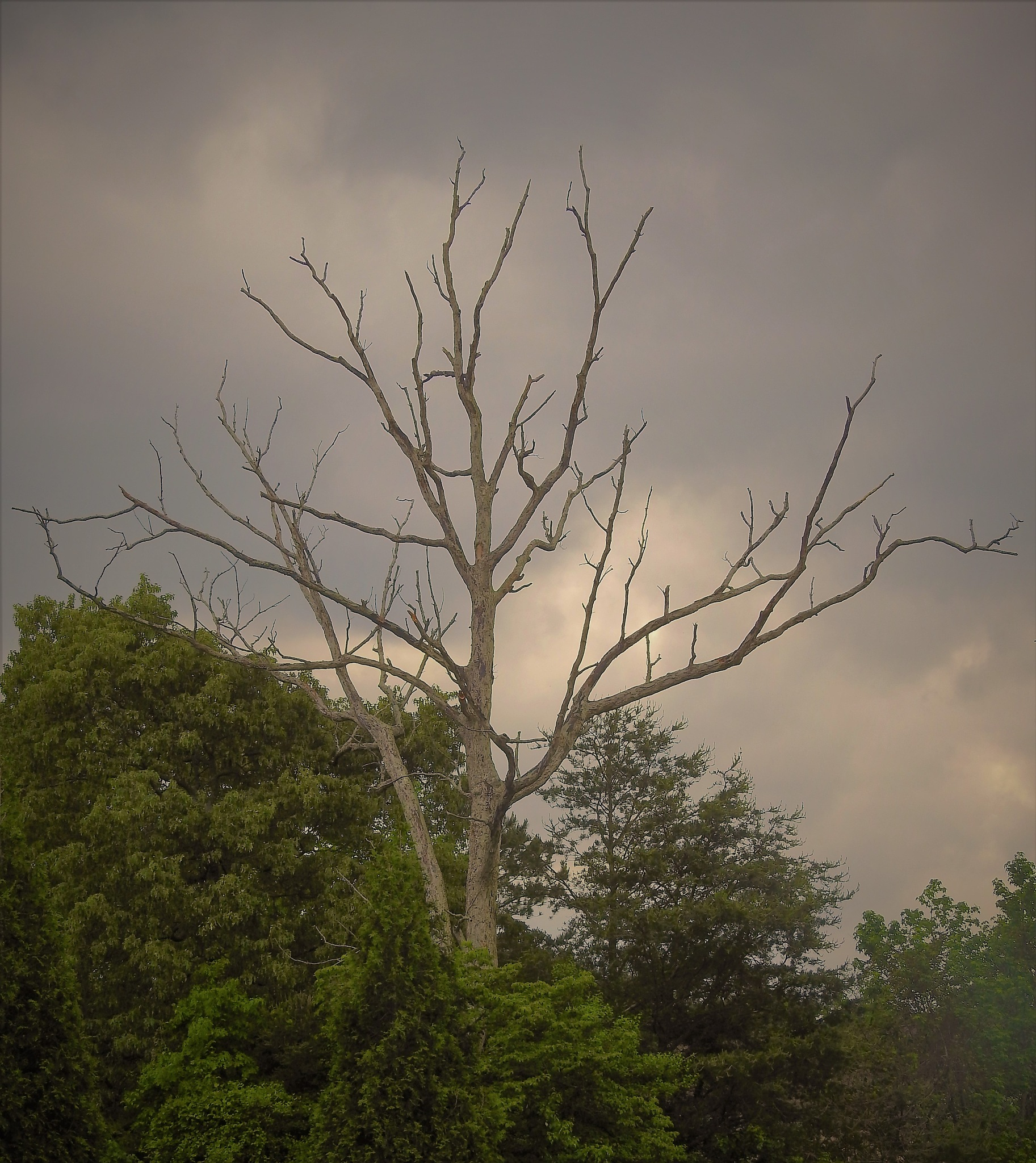 """Snag"" awaits the storm by Susan Harrison"