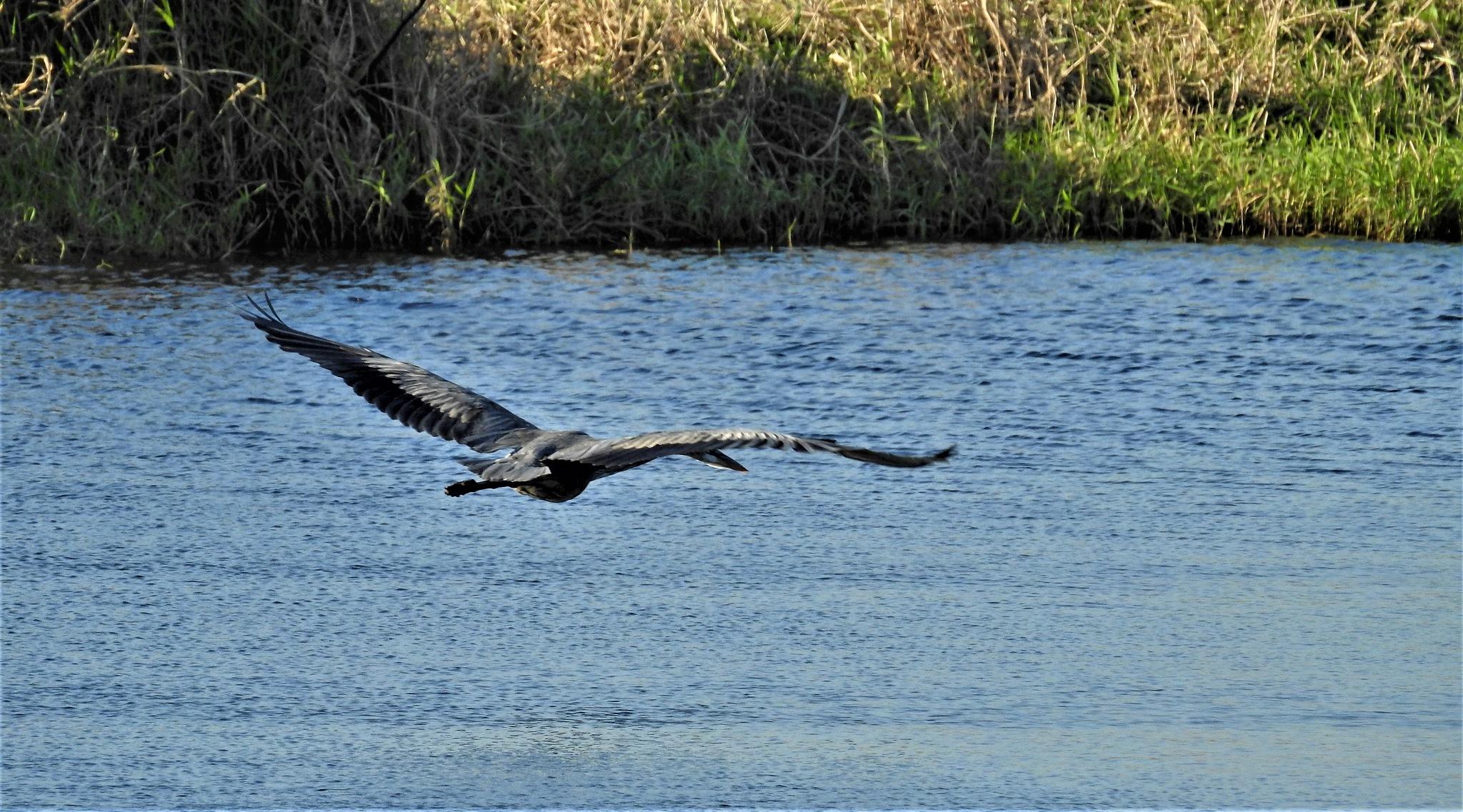 Flight - Great Blue Heron by Susan Harrison