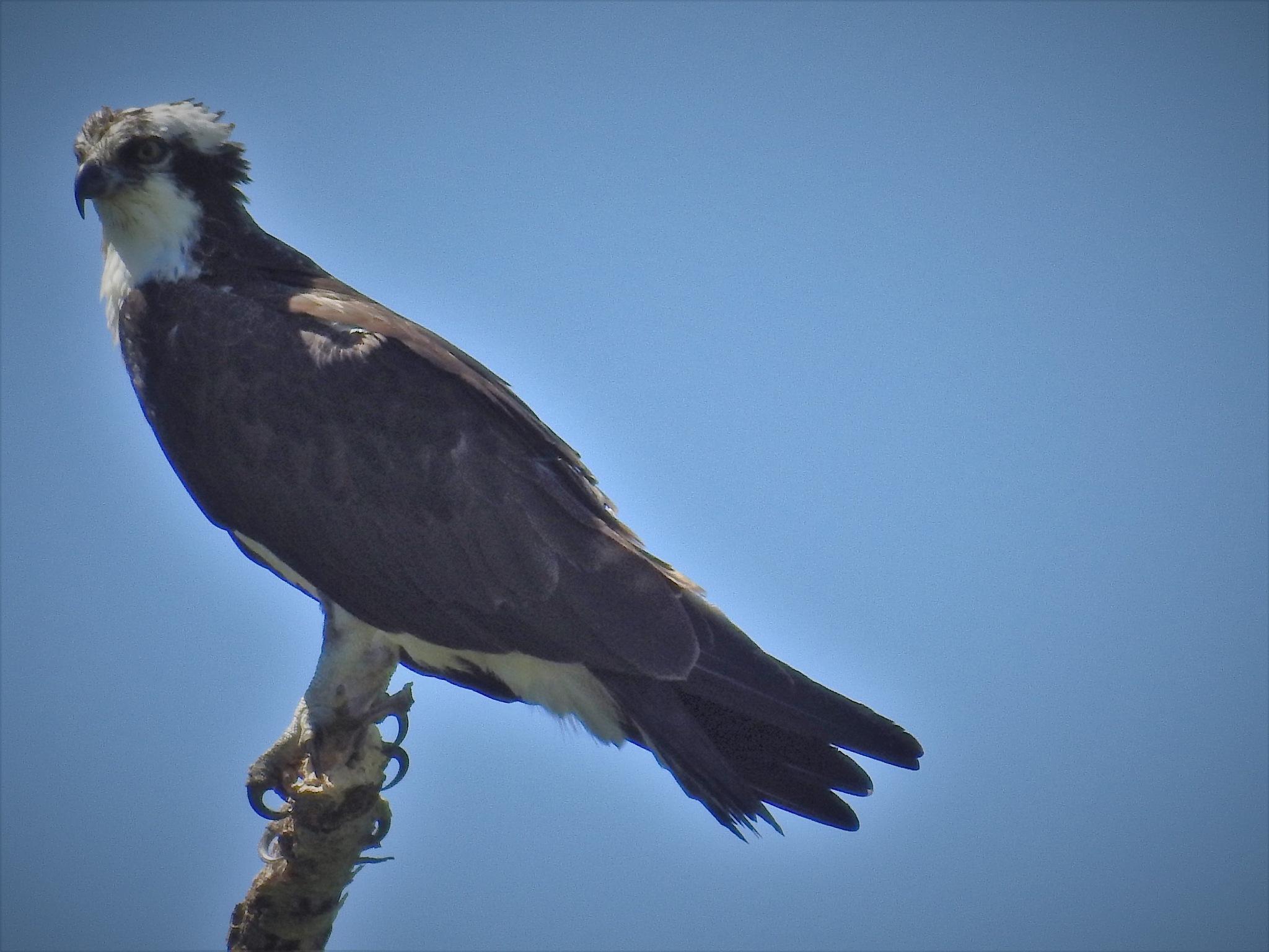Osprey - Male by Susan Harrison