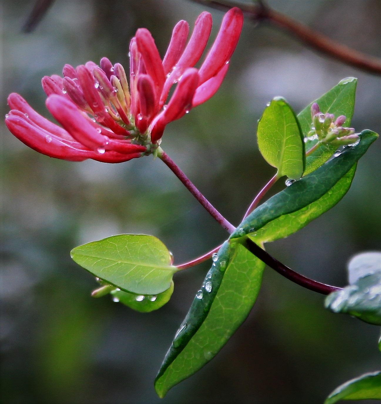 Honeysuckle and raindrops by Susan Harrison