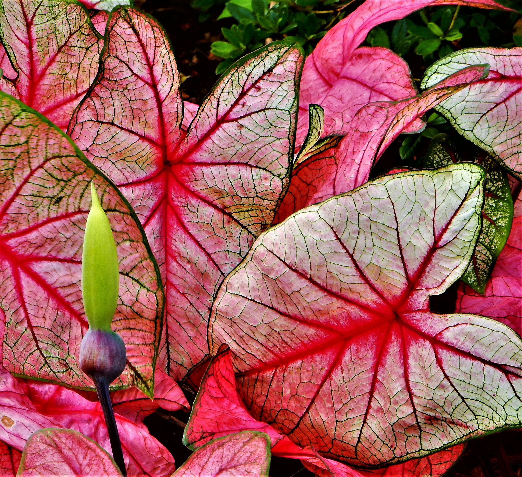 Caladium by Susan Harrison