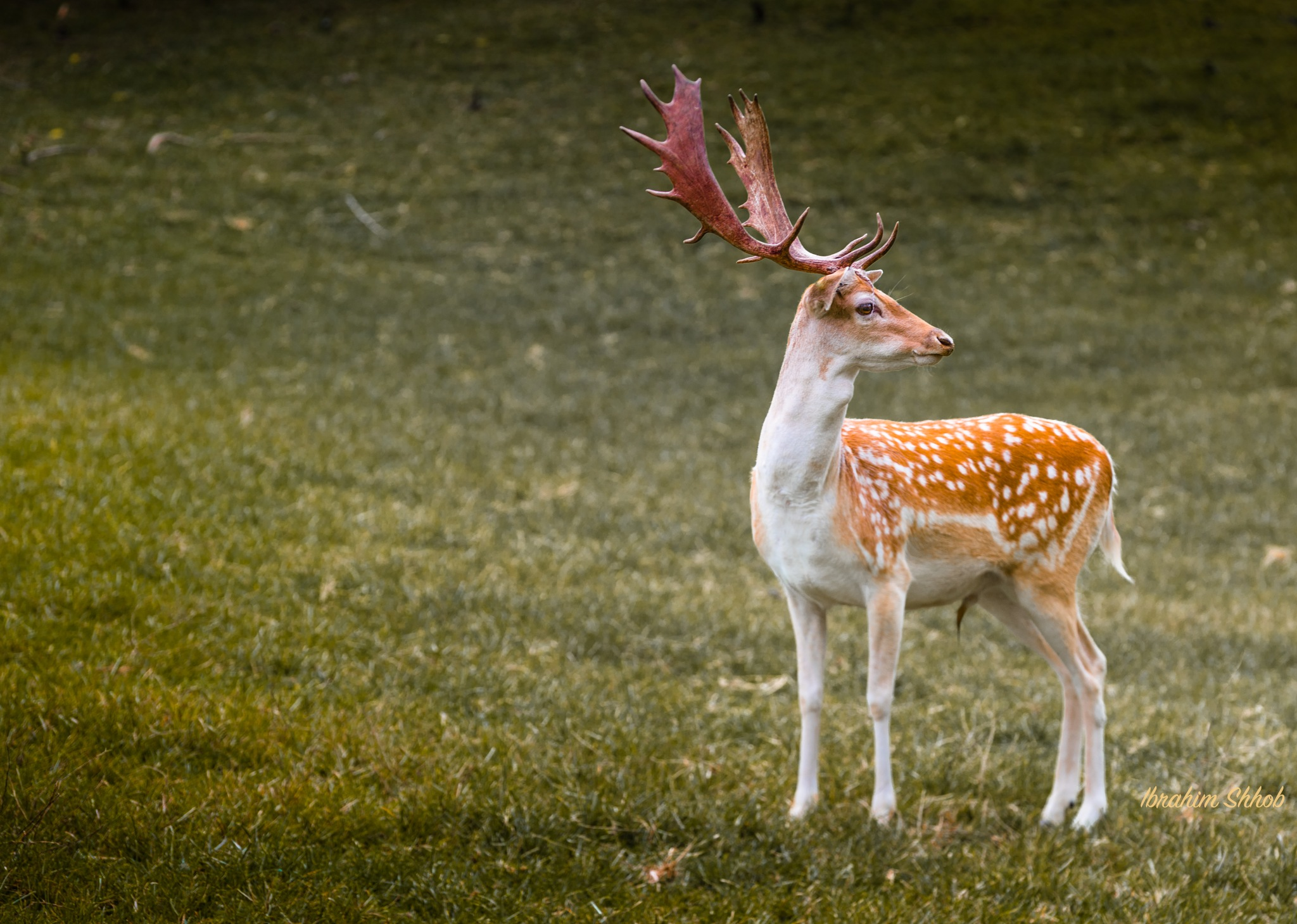 Deer 101 by Ibrahim shhob