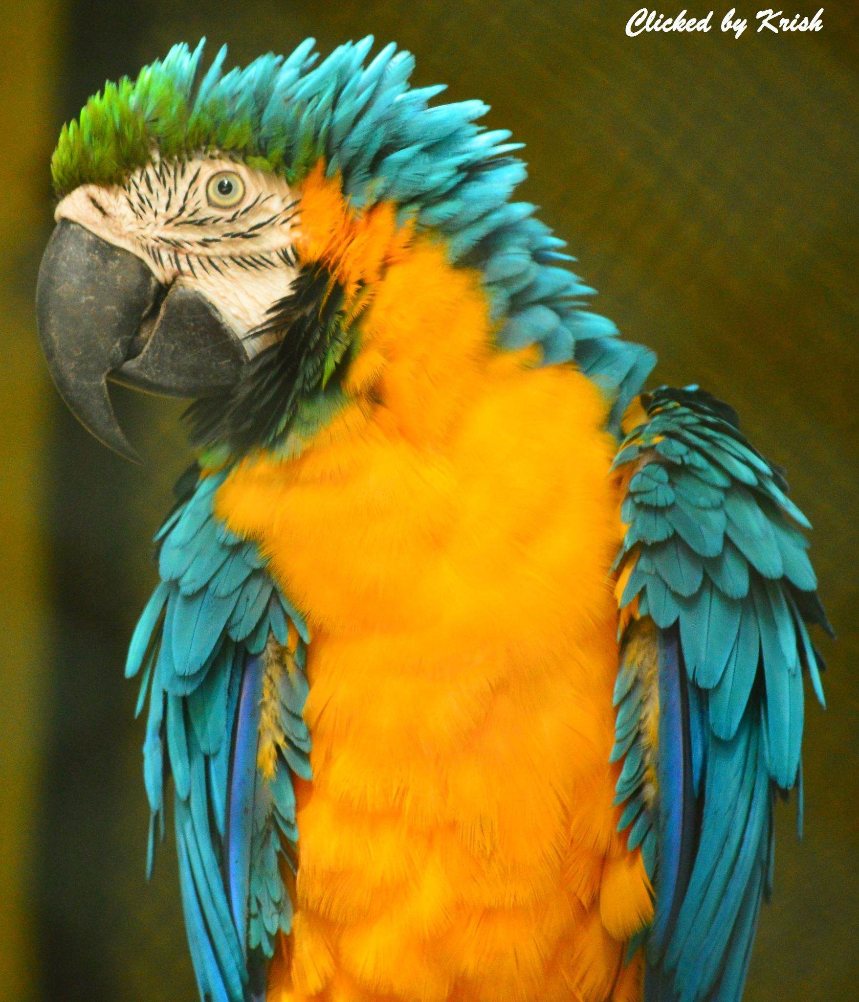 Blue & Yellow Macaw by Krishnendu Mitra
