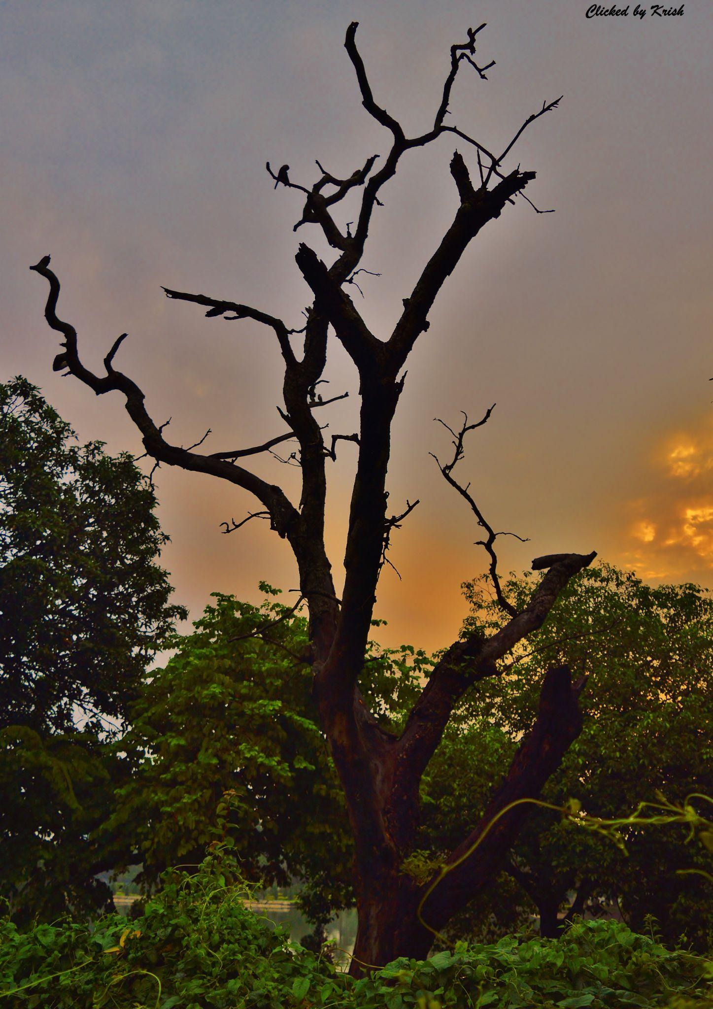 dead tree by Krishnendu Mitra