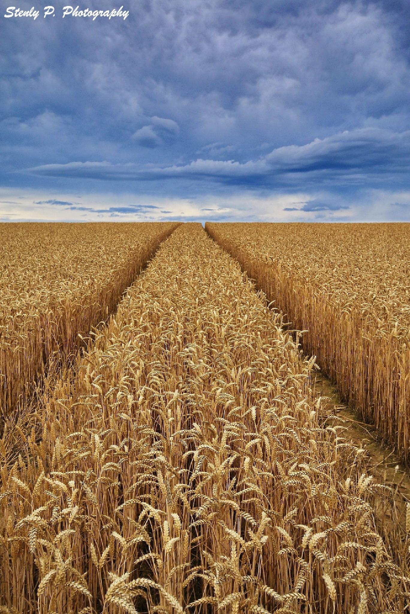 golden field by Stenly Priesol