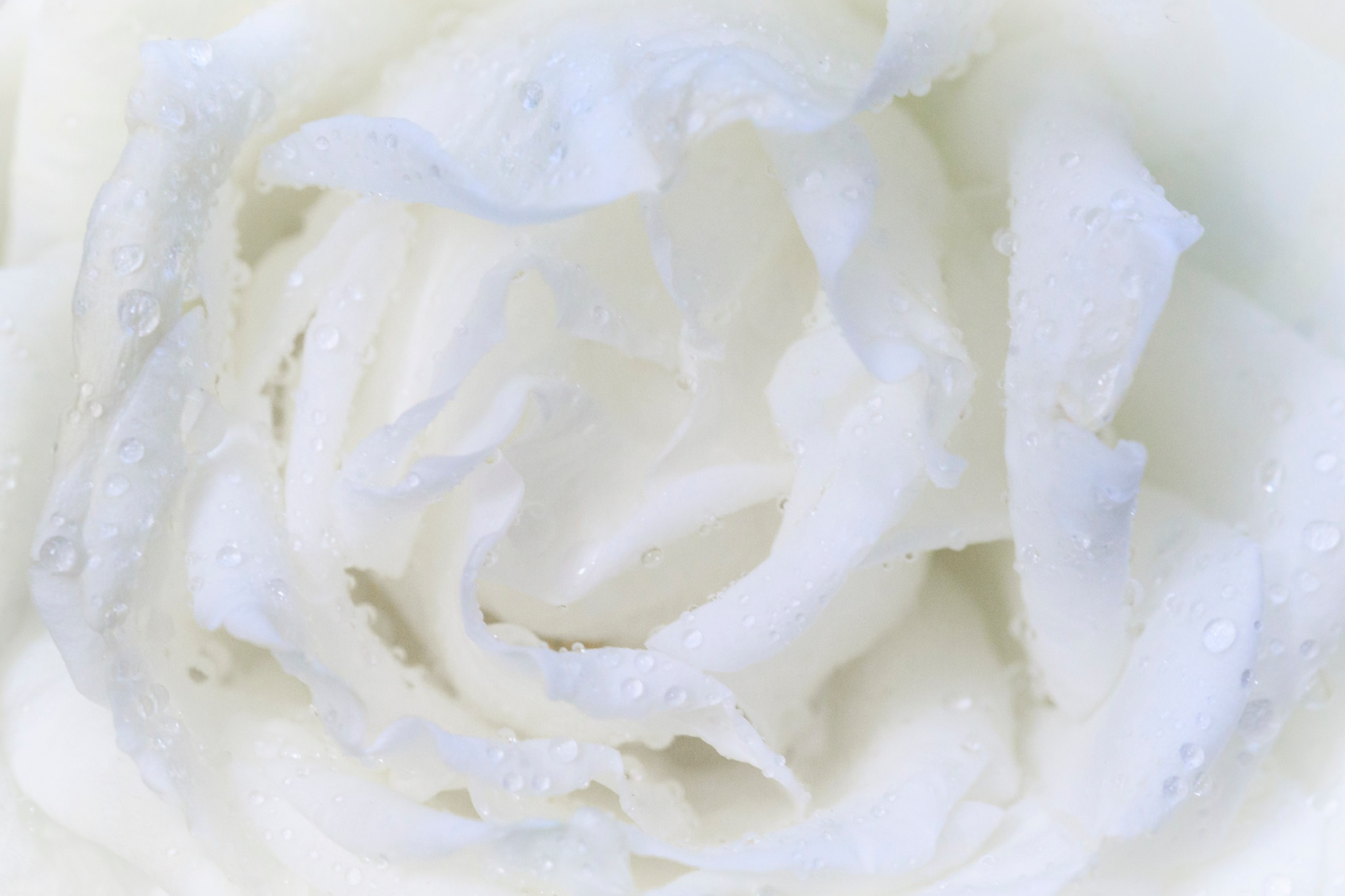 White rose by Noureddine Belfethi