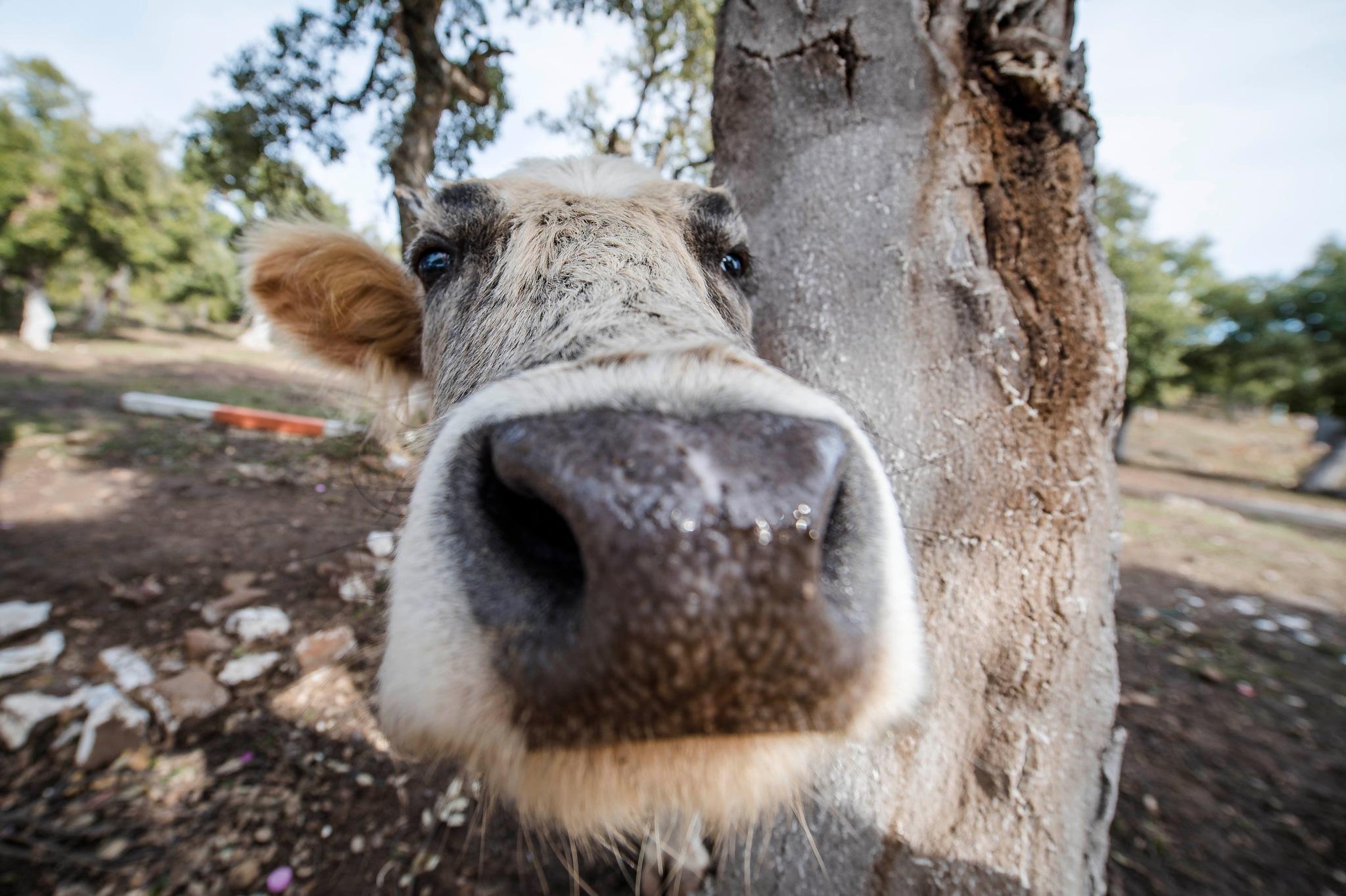 Cow nose by Noureddine Belfethi