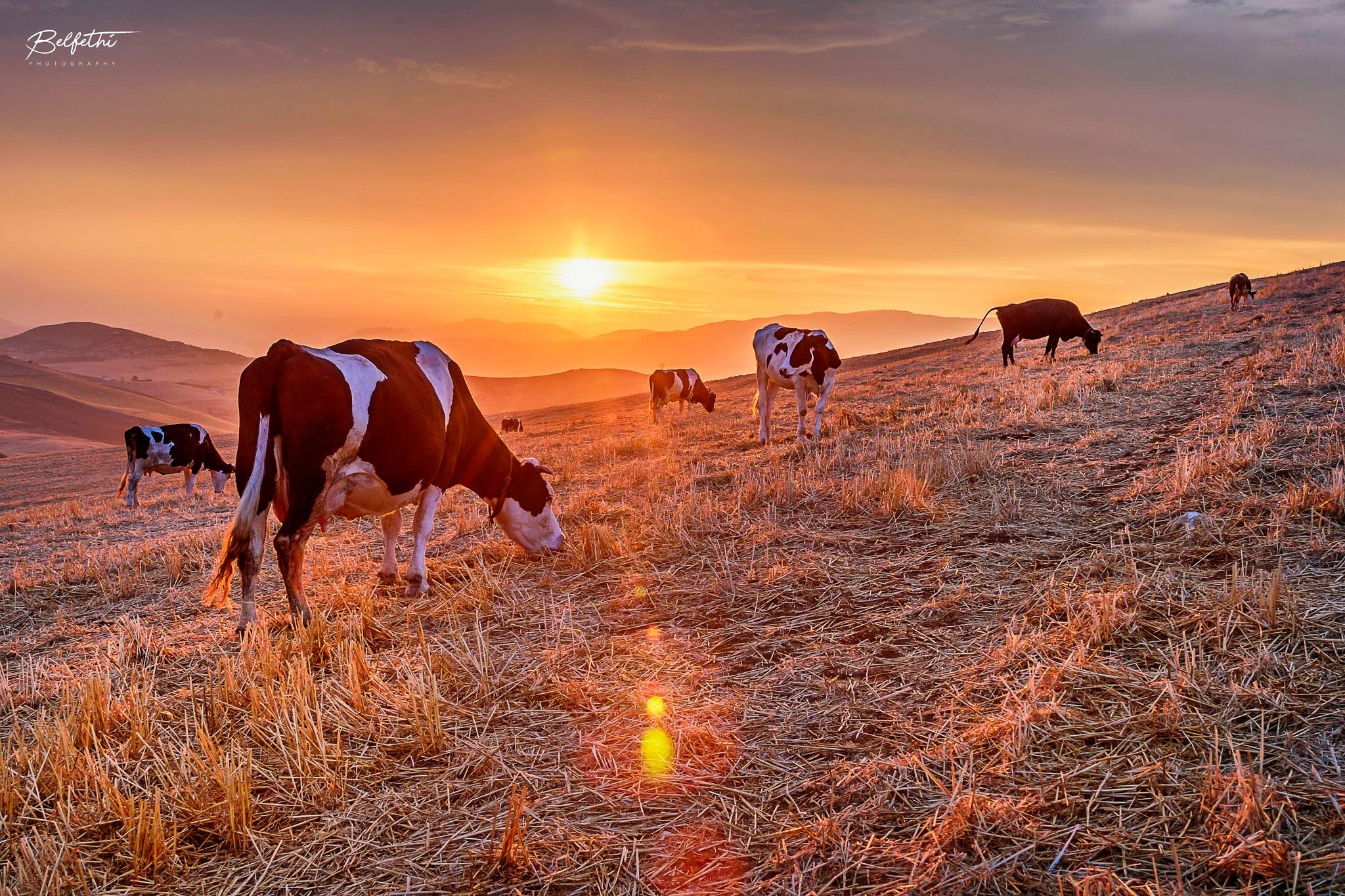 Cows by Noureddine Belfethi
