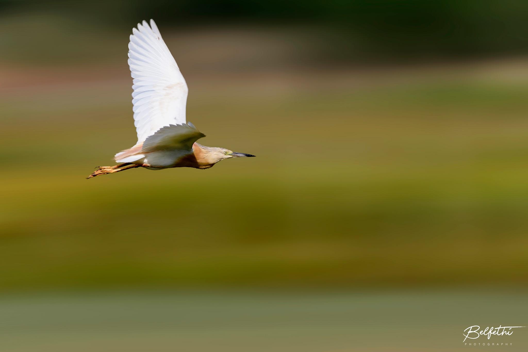 Cattle Egret by Noureddine Belfethi