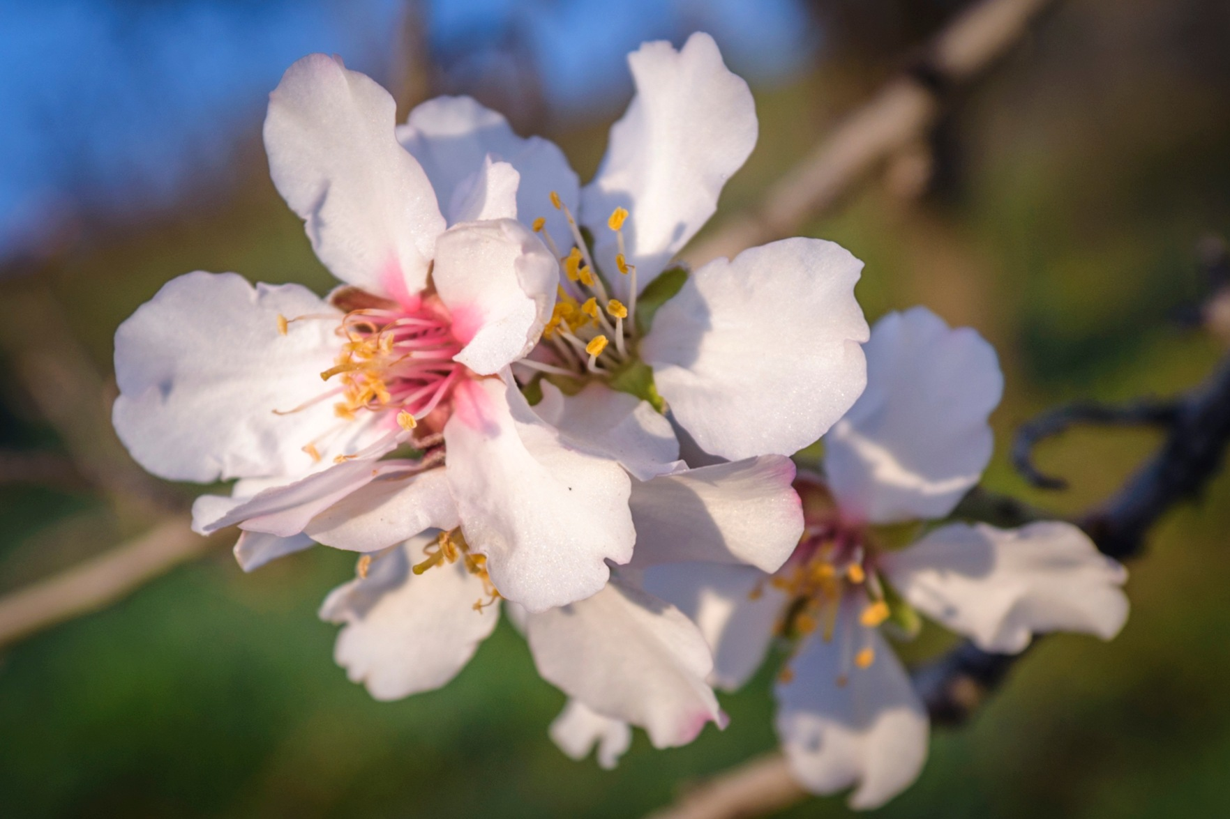 Almond flowers by Noureddine Belfethi