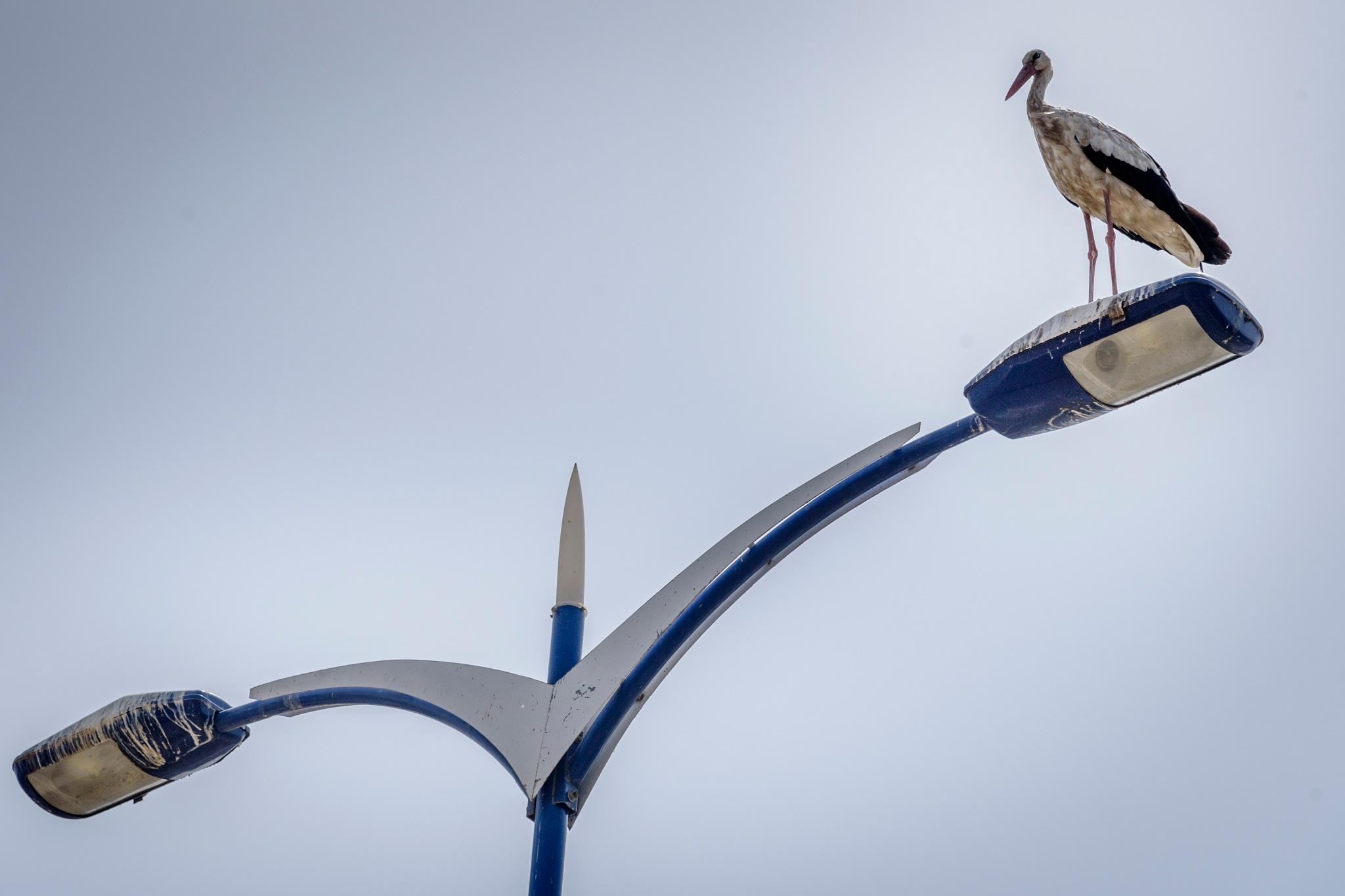 Stork by Noureddine Belfethi