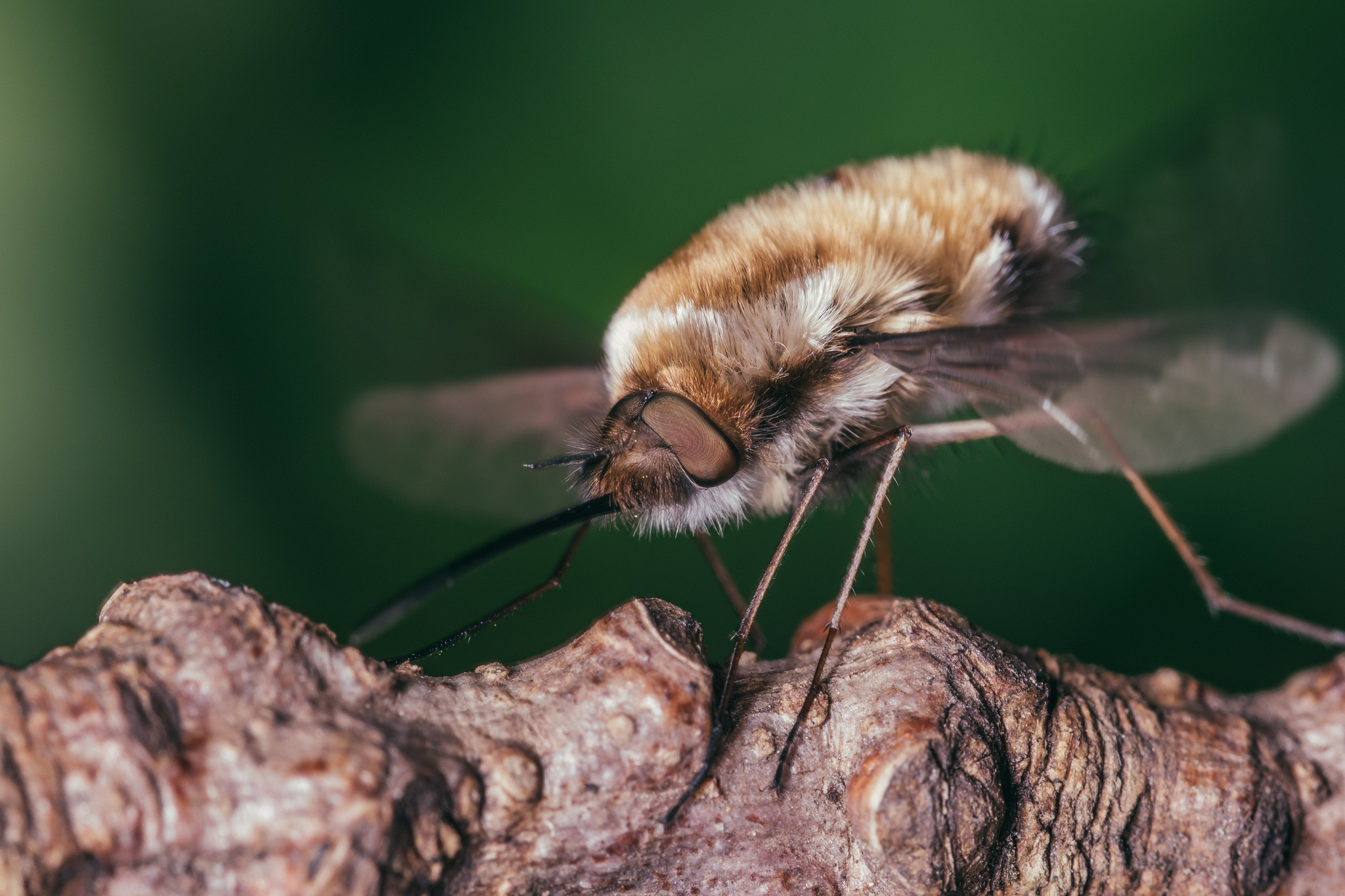 Bee fly by Joolz