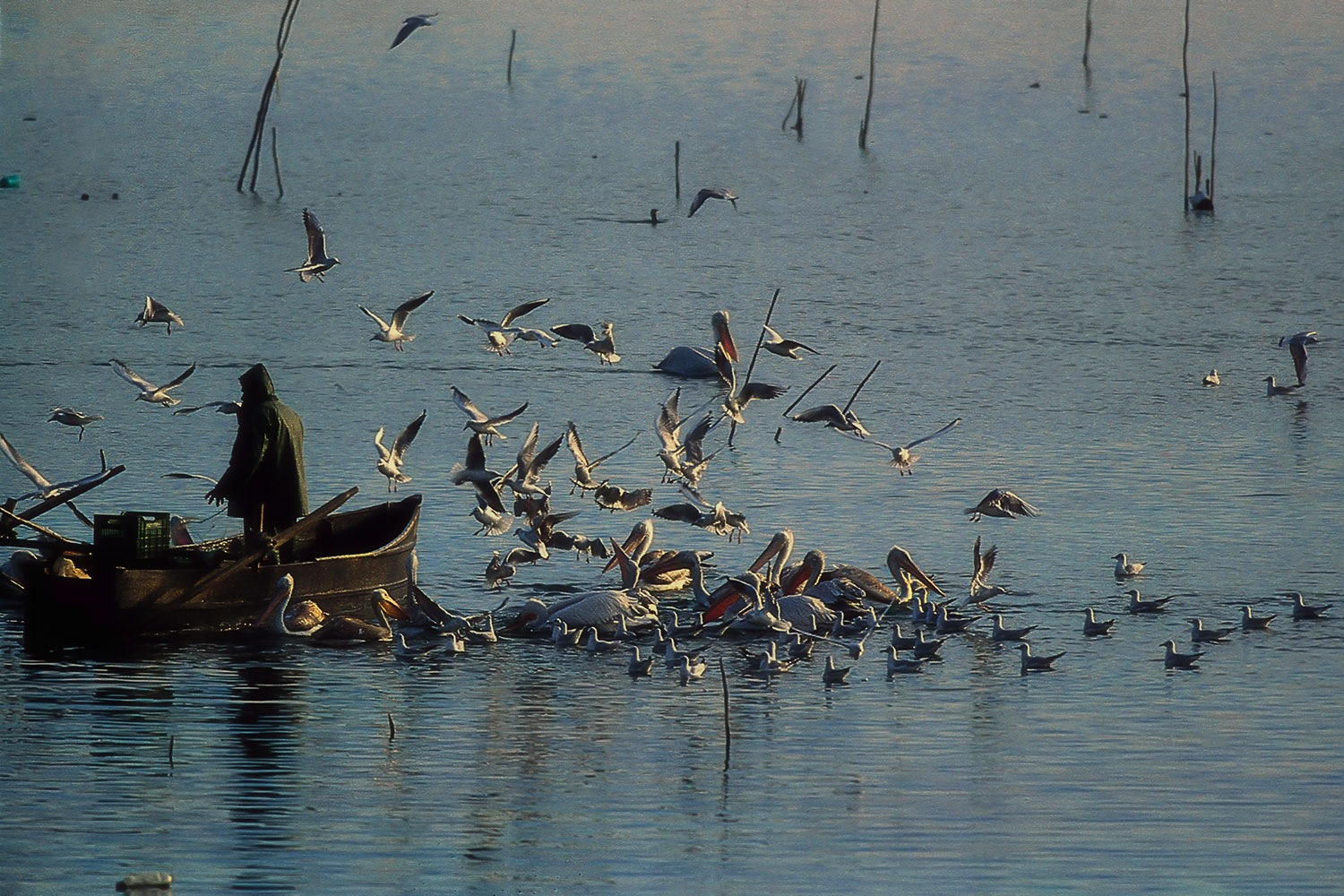 The fisherman and the pelicans by Sotiris Siomis