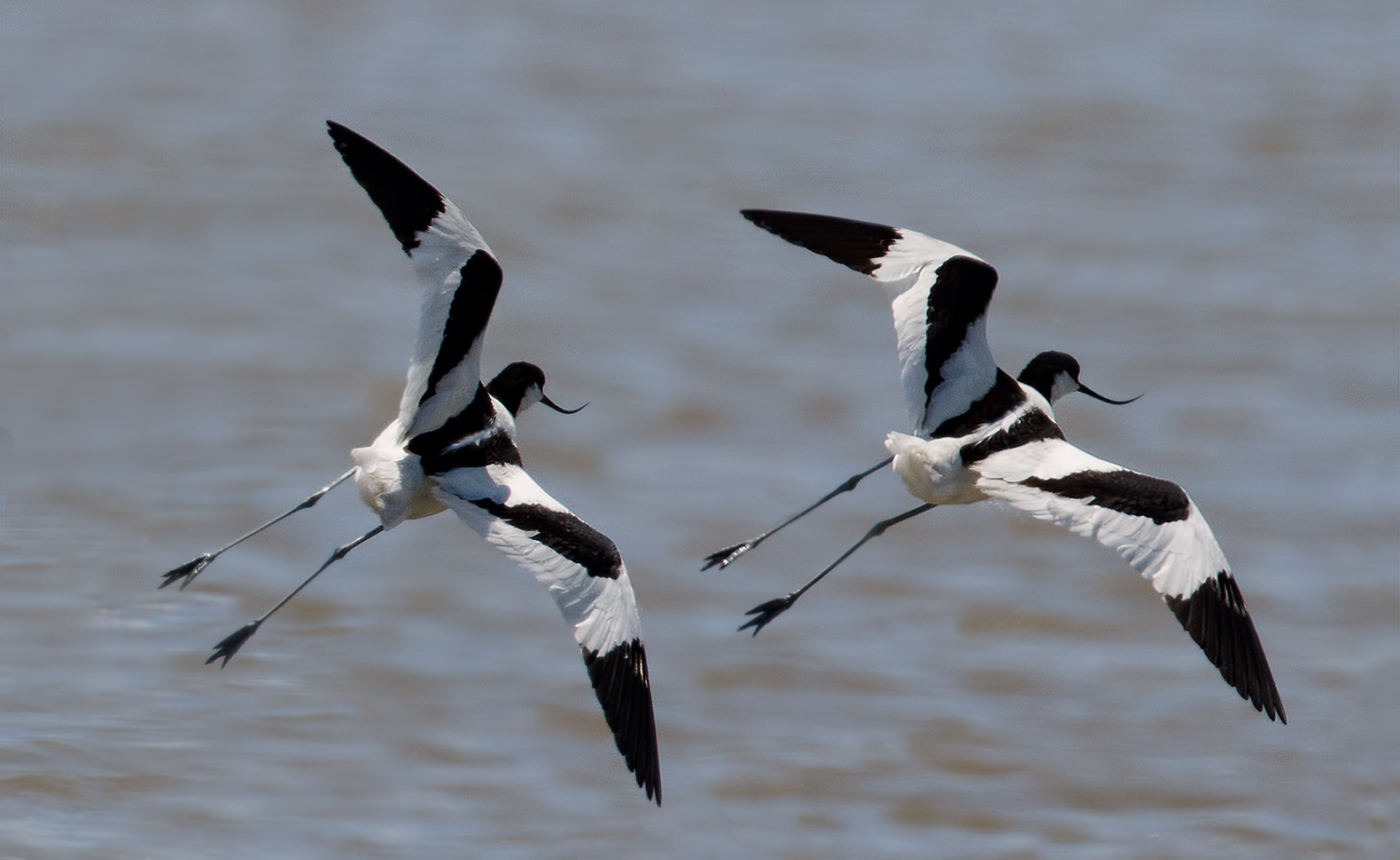 Pied Avocets taking off into flight!!! by Sotiris Siomis