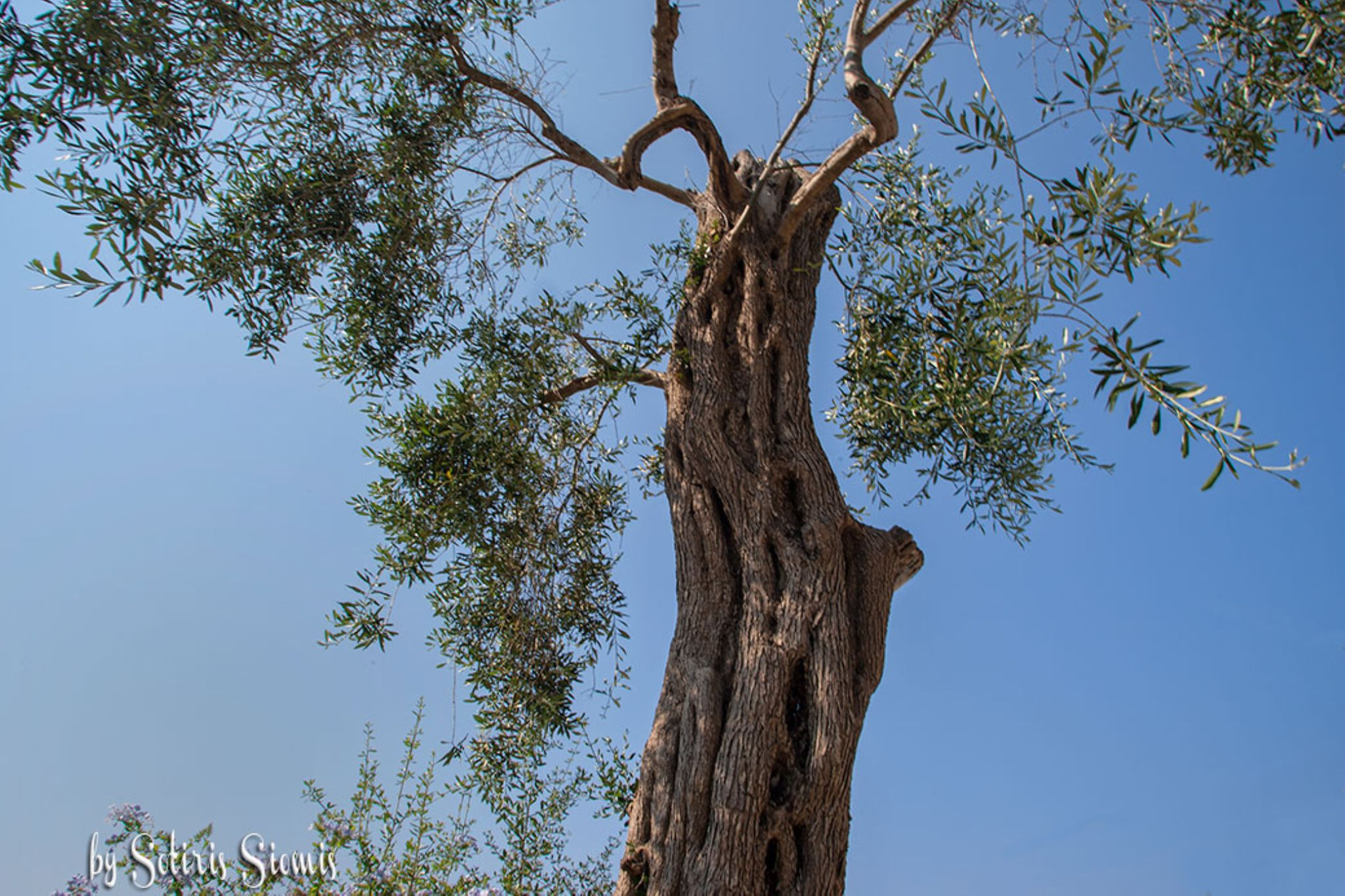 The sacred olive tree  by Sotiris Siomis