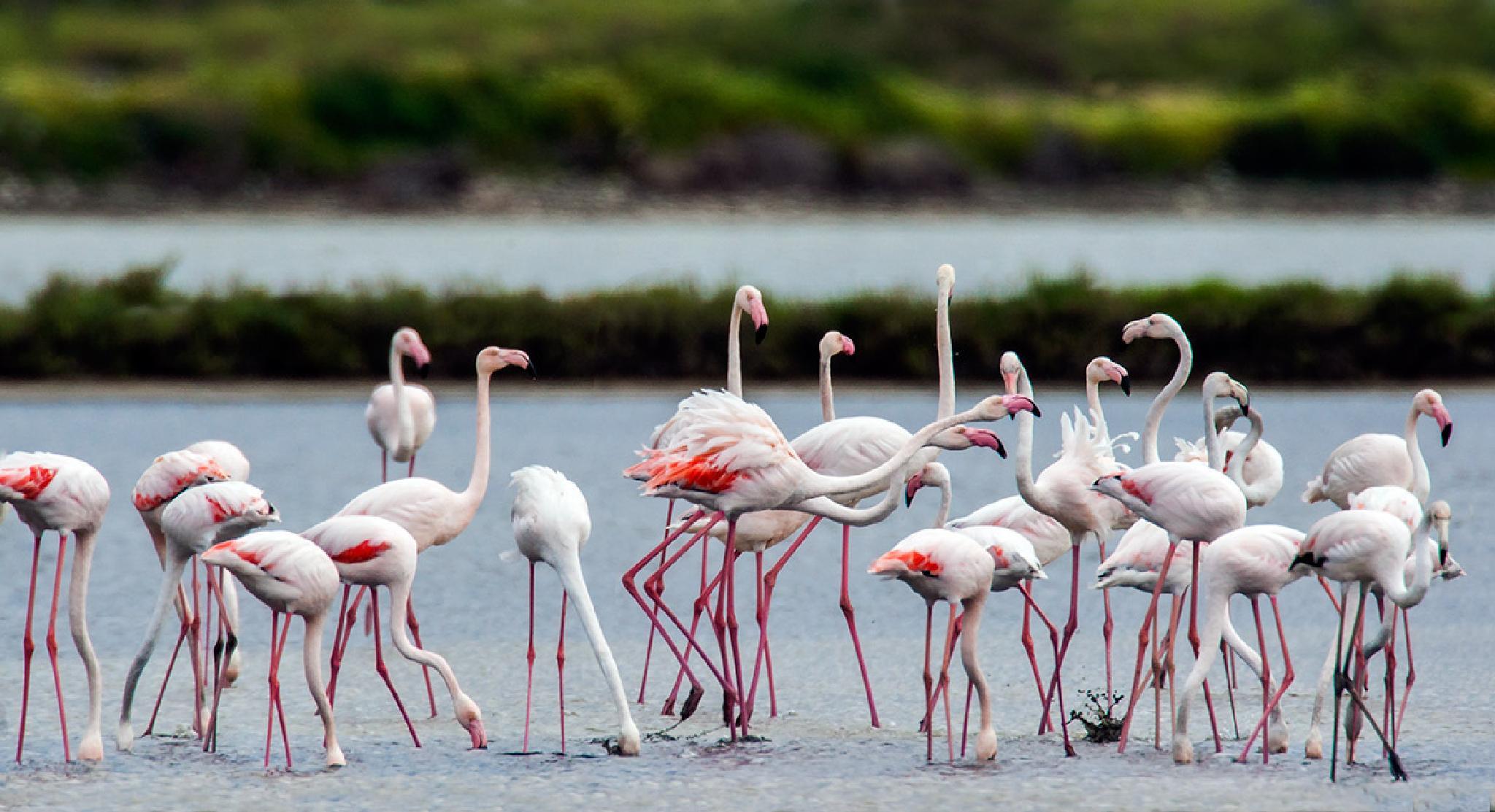 Flamingo  by Sotiris Siomis