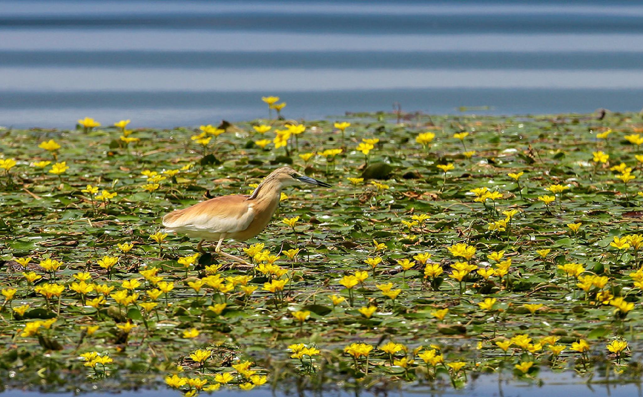 The squacco heron (Ardeola ralloides) by Sotiris Siomis