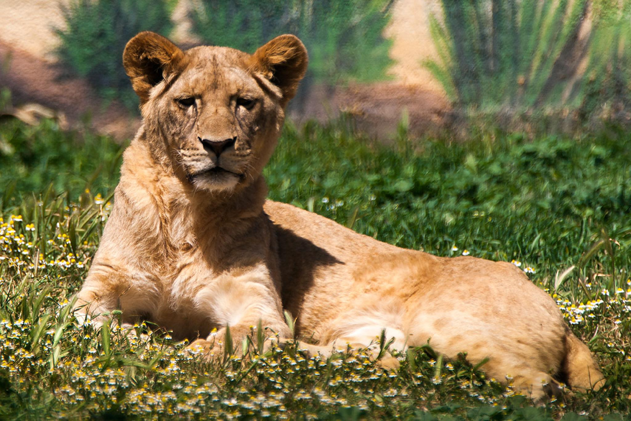 The Southwest African lion by Sotiris Siomis