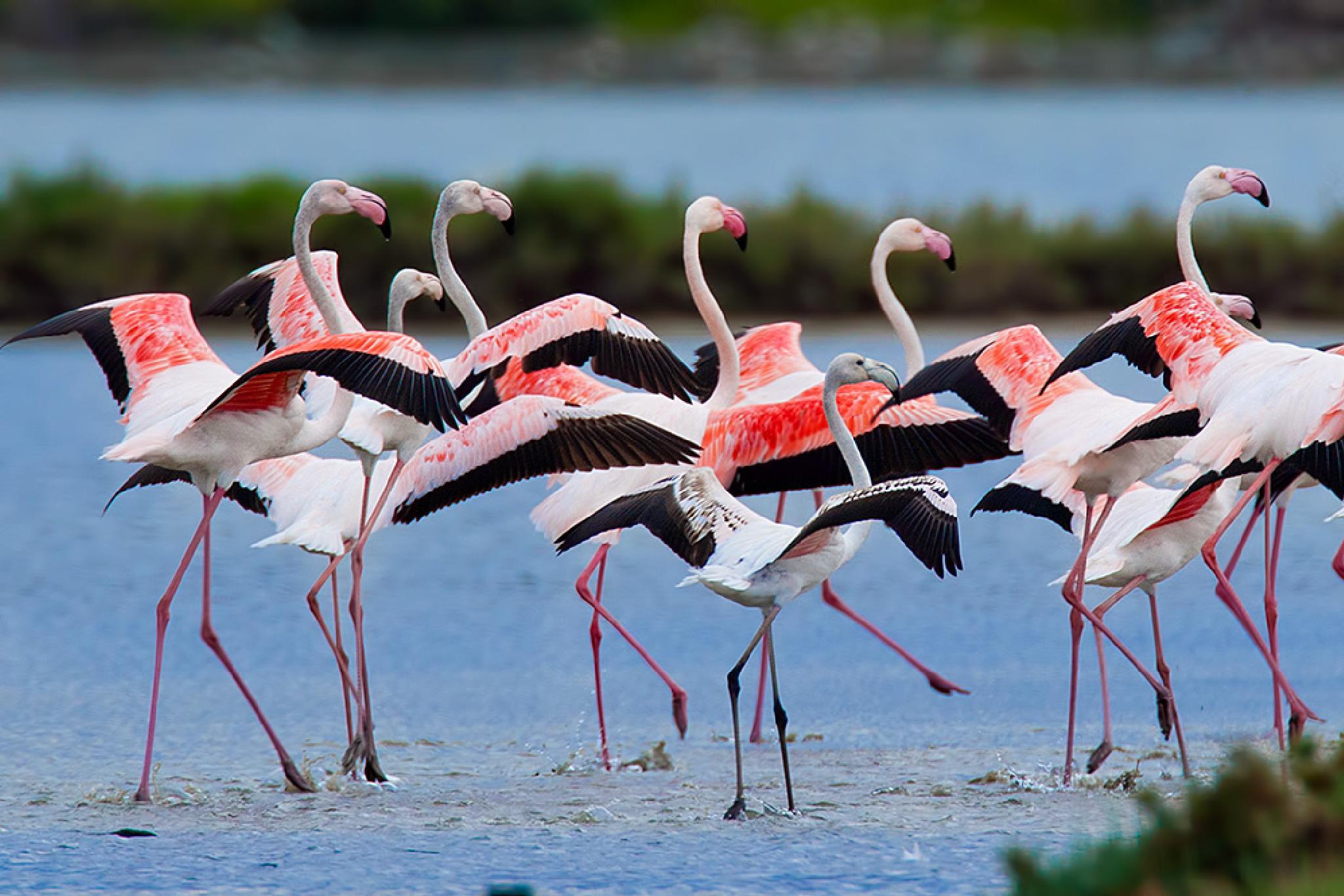 Flamingos - Love Birds by Sotiris Siomis