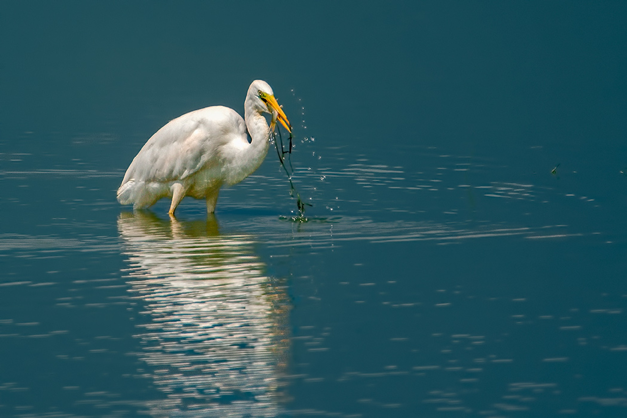 The great egret (Ardea alba)   by Sotiris Siomis