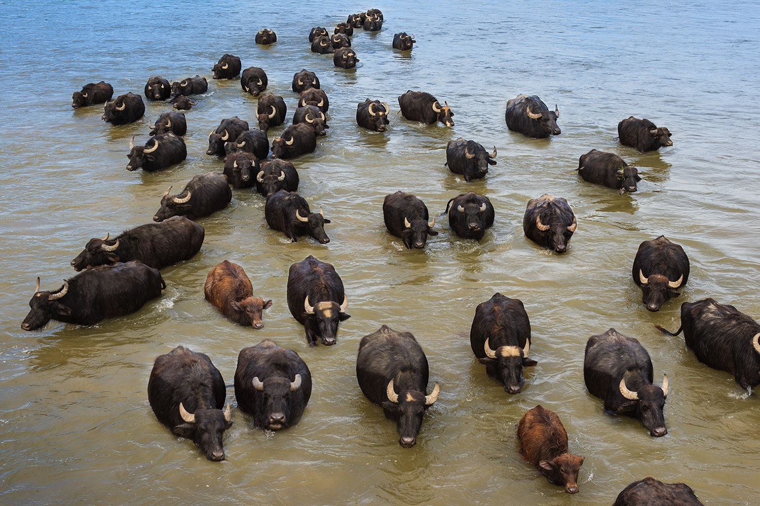 The buffalos swimming in lake's calm water by Sotiris Siomis