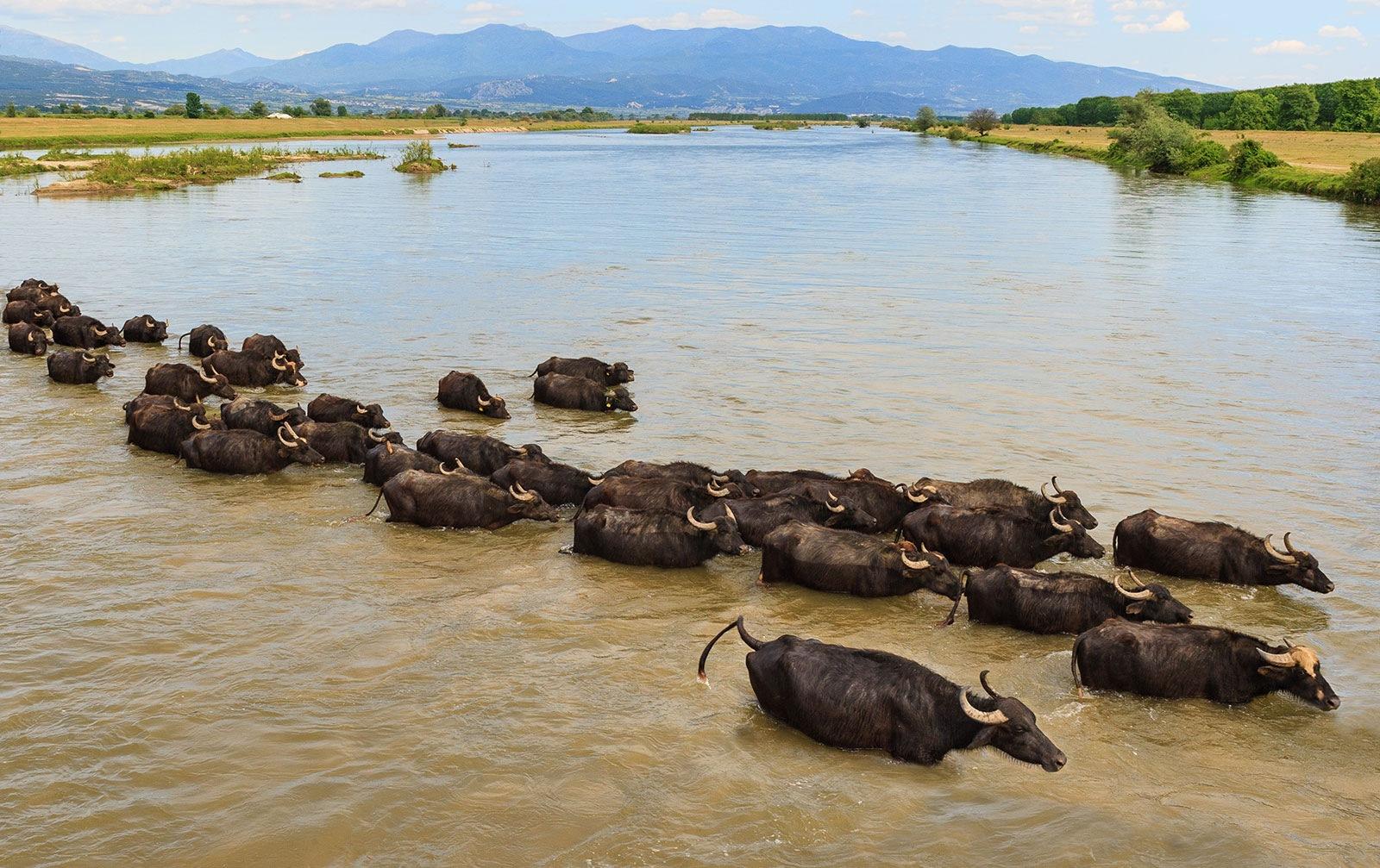 The water buffalos  in Strymonas river  near lake Kerkini by Sotiris Siomis