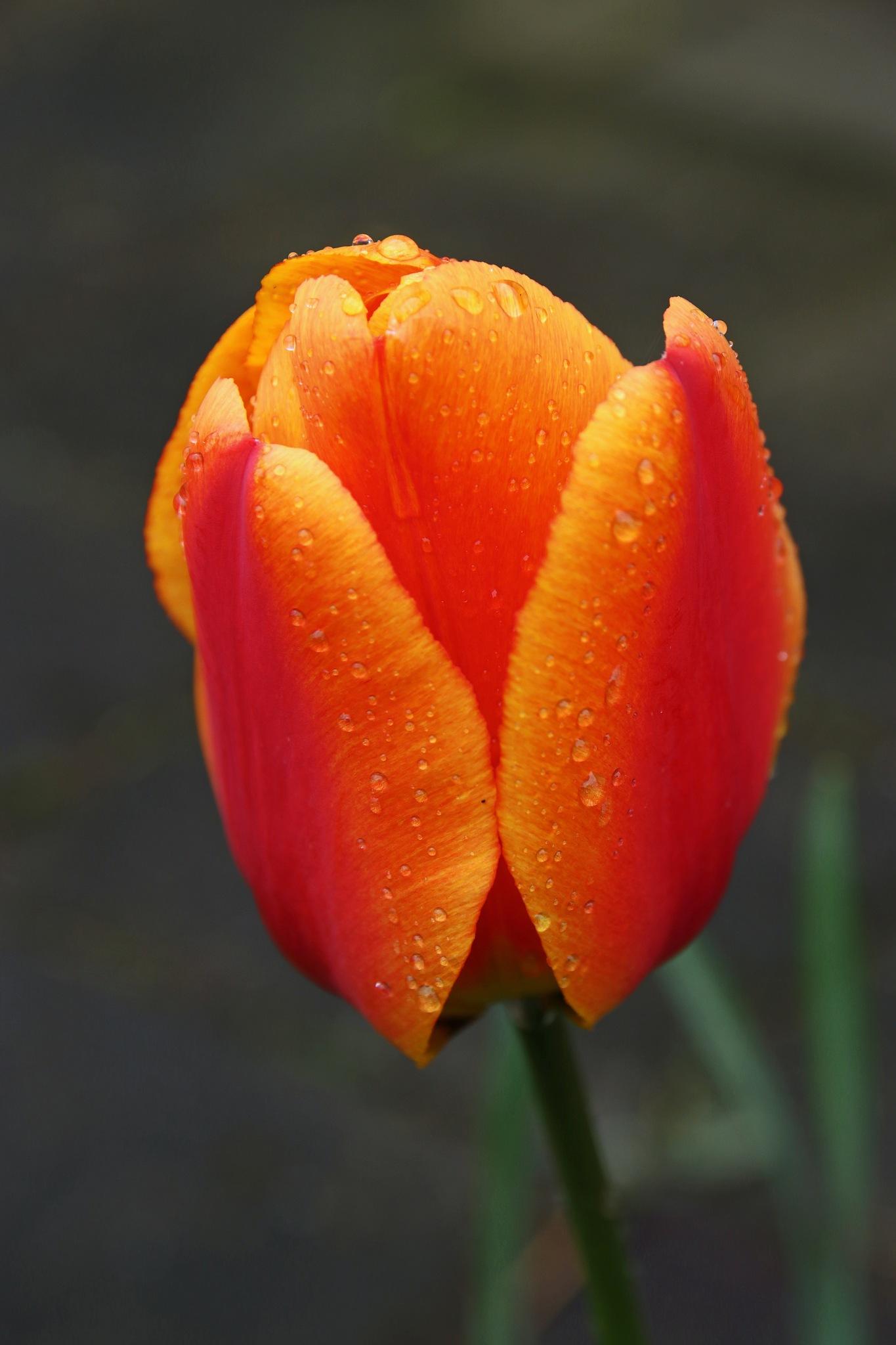 Rainy flower by Jeroen Wouter van der Vlist