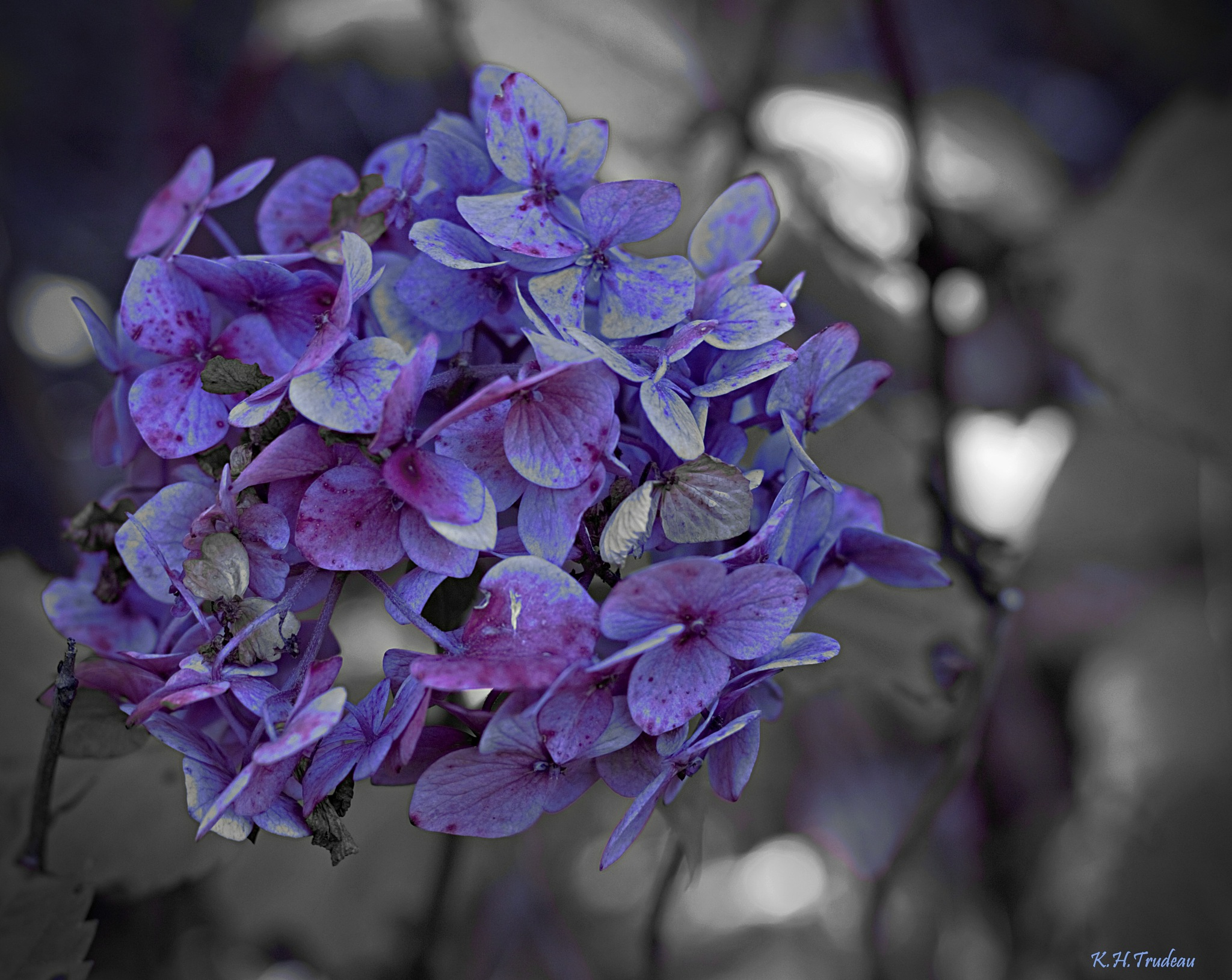 Autumn Hydrangea  by Kevin Trudeau