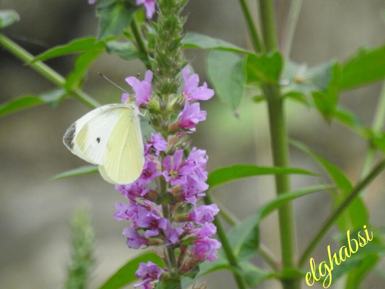 butterfly by Farag Elghabsi