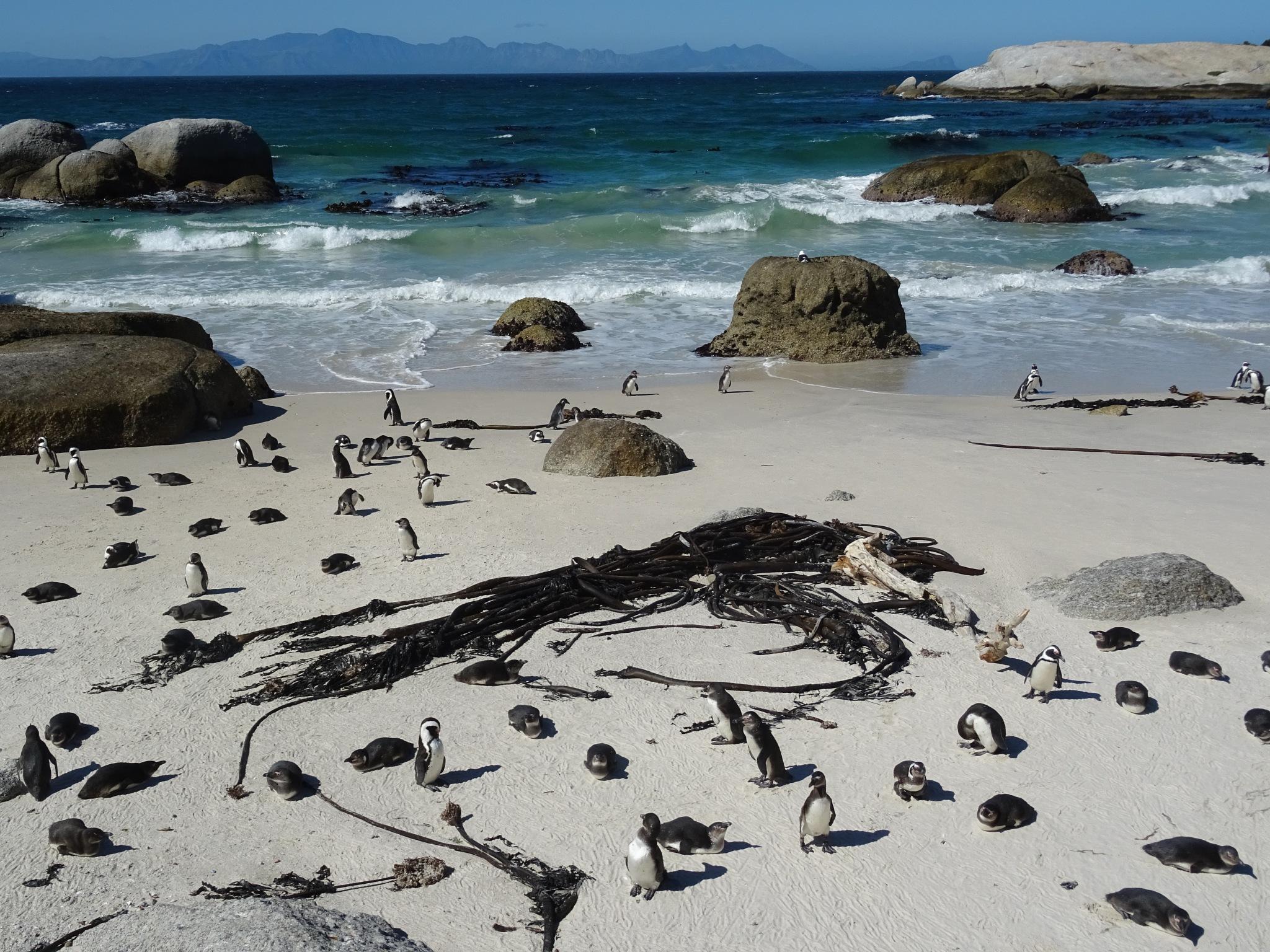 African Penguins by Kelisa