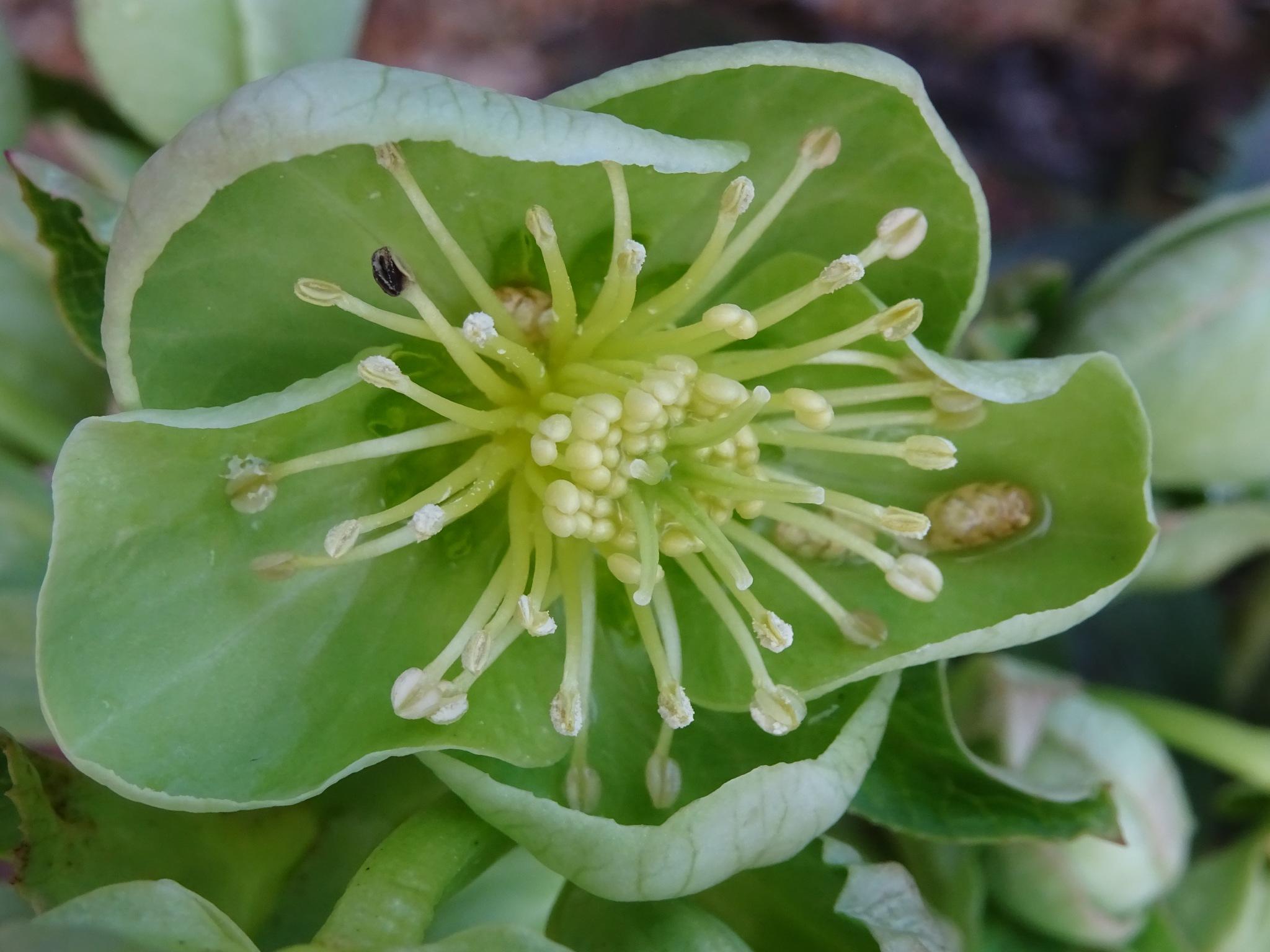 Helleborus lividus subsp corsicus by Kelisa