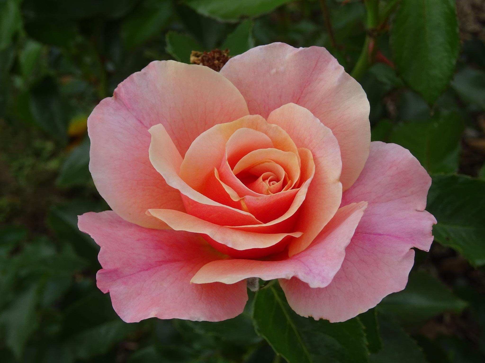 Rose by Kelisa