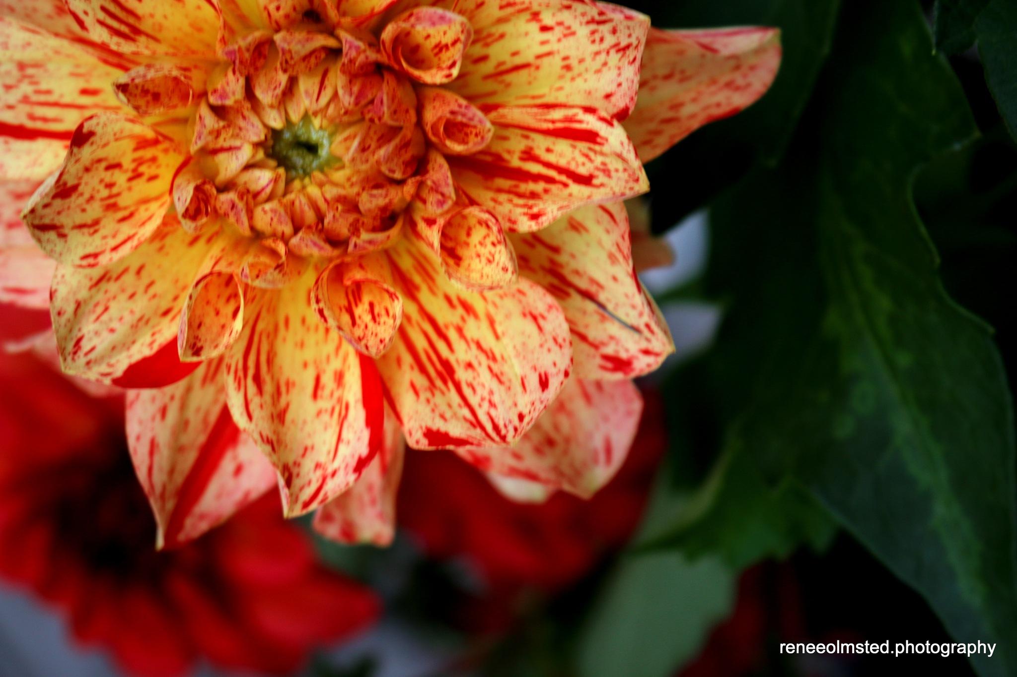 Delightful Dahlia by Renee Olmsted