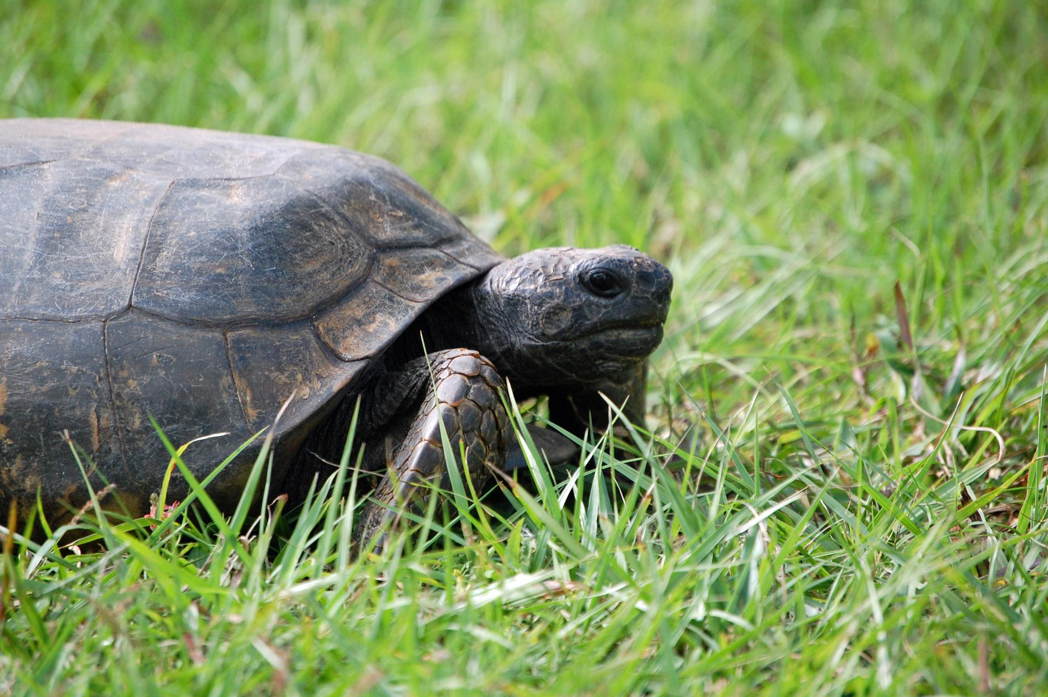 Gopher Tortoise by mrsmasch