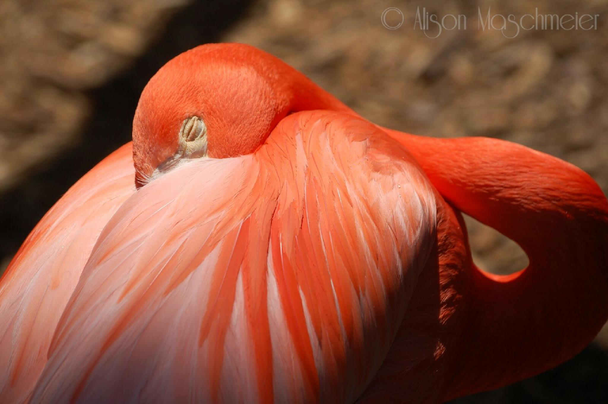 Flamingo at Rest by mrsmasch