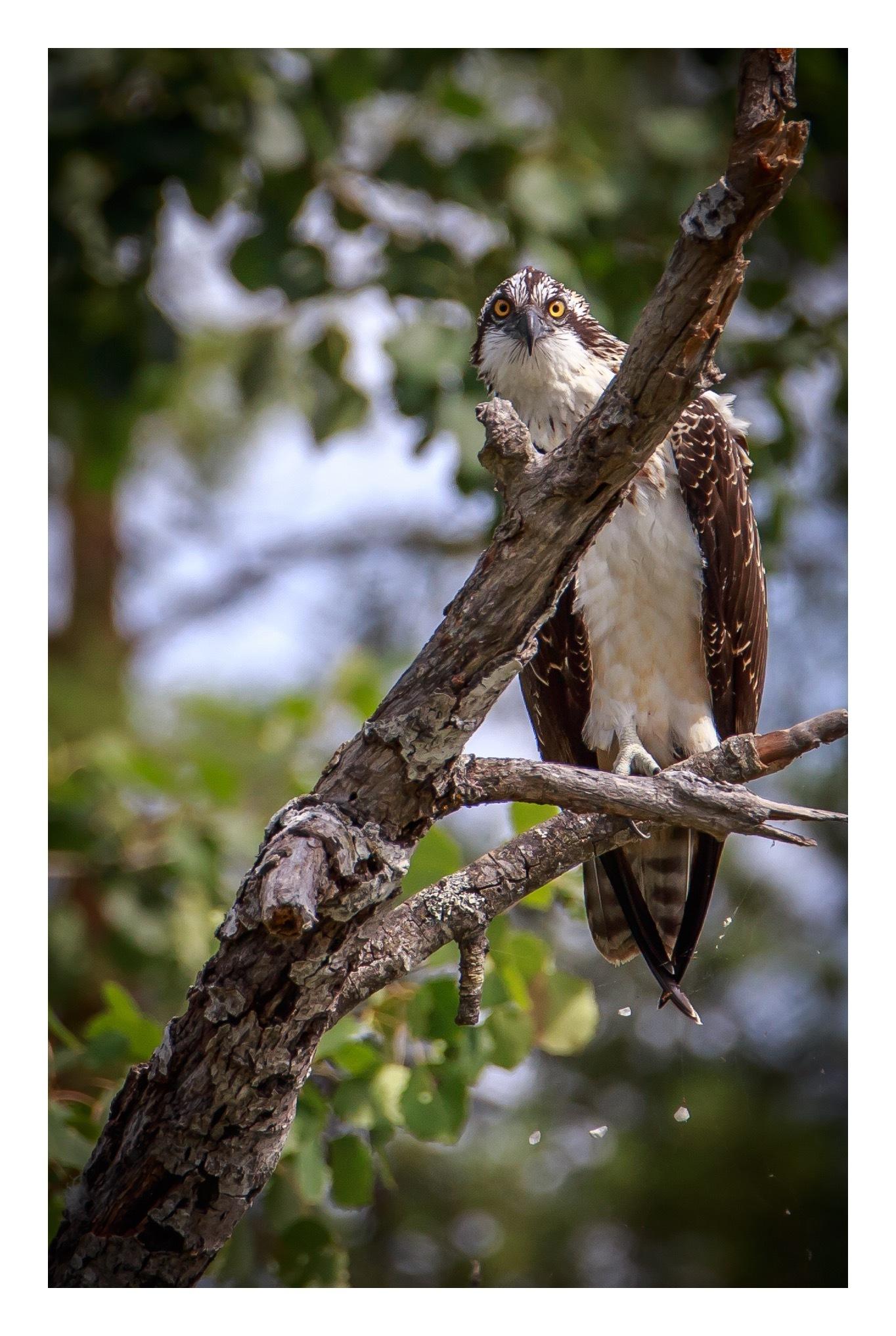 Osprey by olajor69