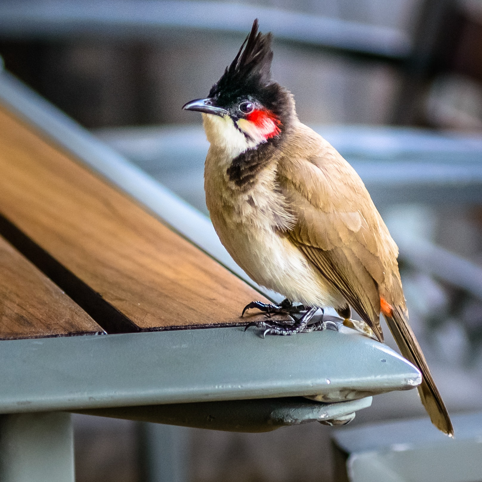 Red whiskered bulbul by Marcel Weichert