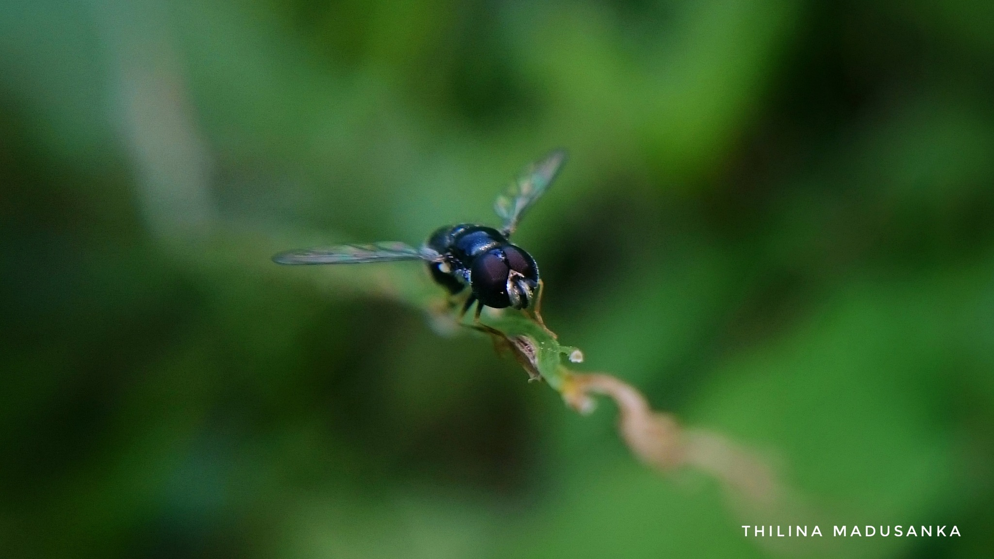 #Macro_Shot Very little fly by Thilina Madusanka