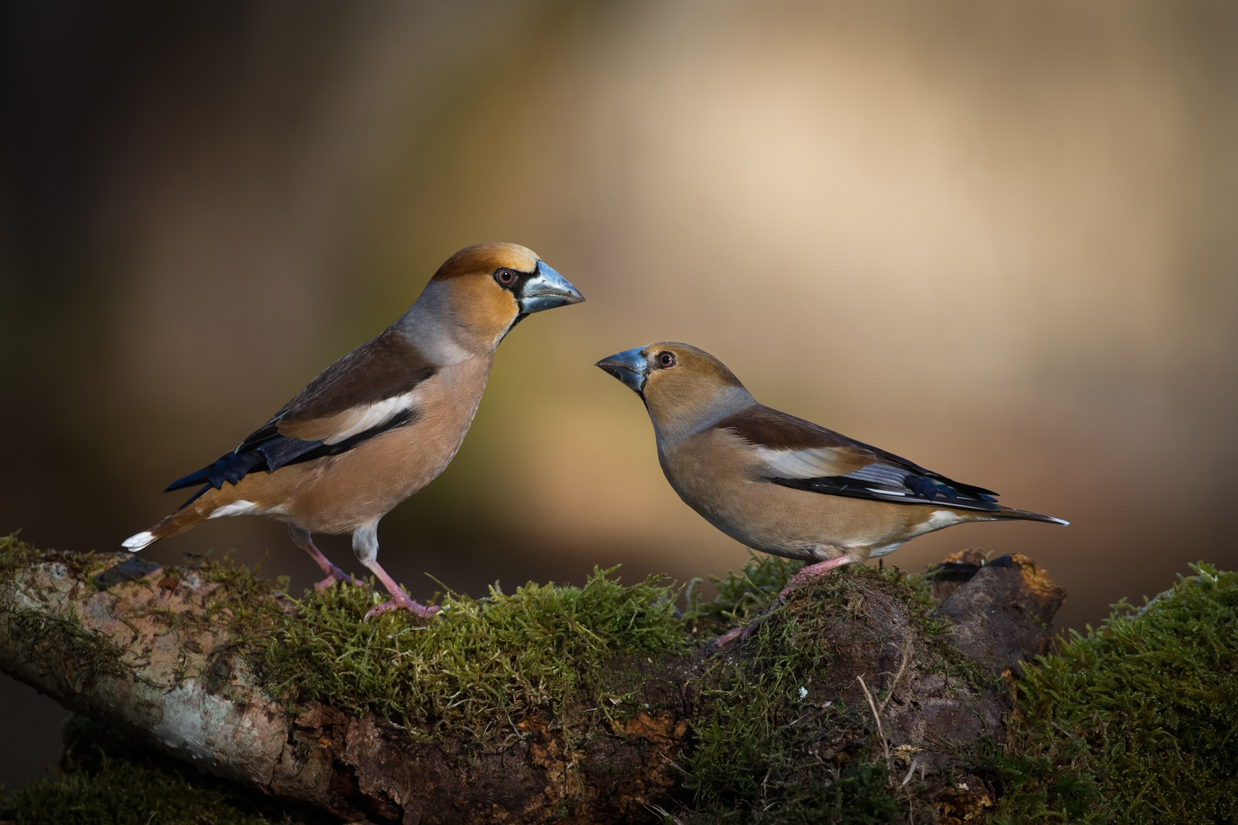 Hawfinch male and female by Jarmo Viippola