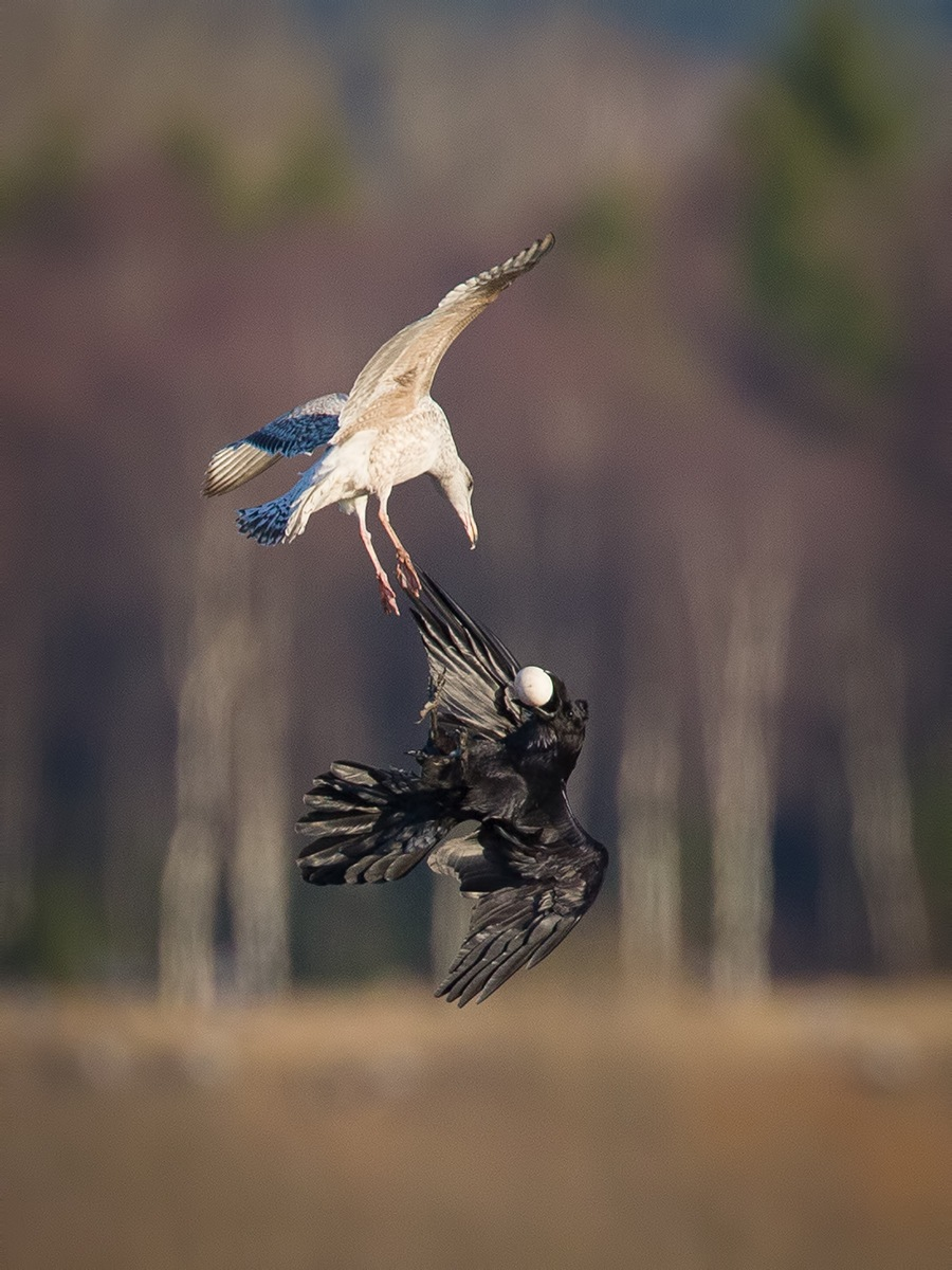 Raven and Herring gull by Jarmo Viippola