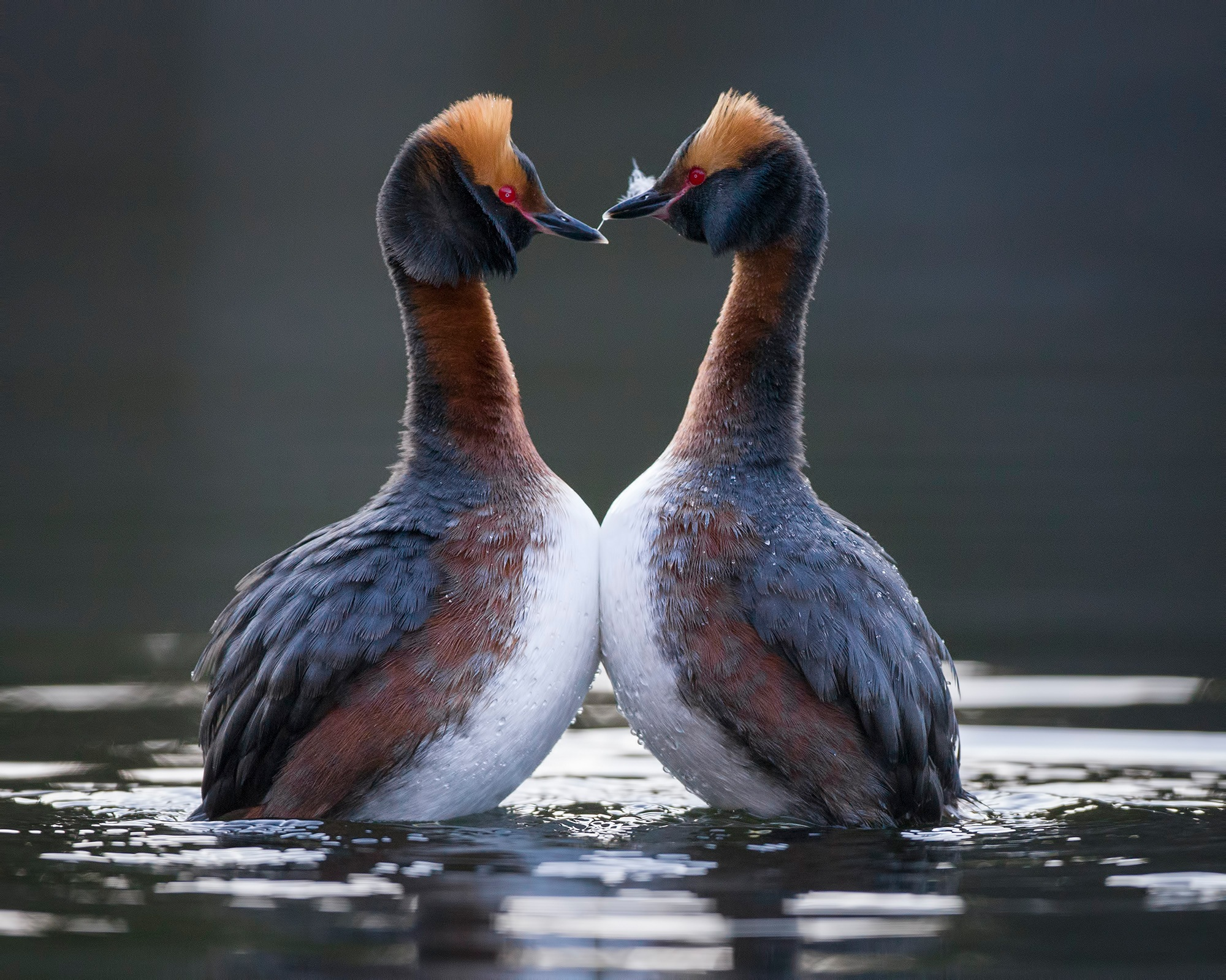 Horned Grebes by Jarmo Viippola