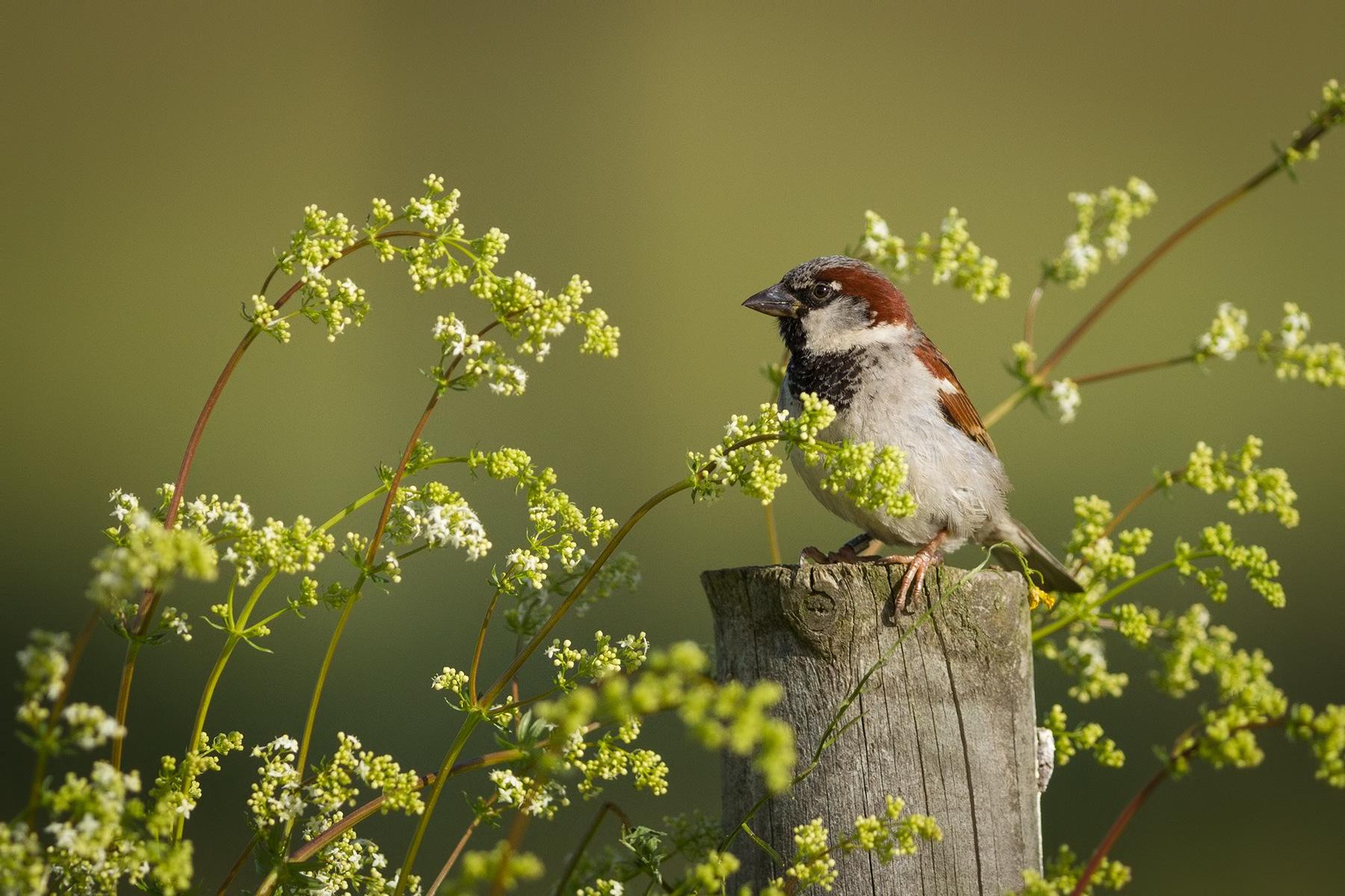 House Sparrow by Jarmo Viippola